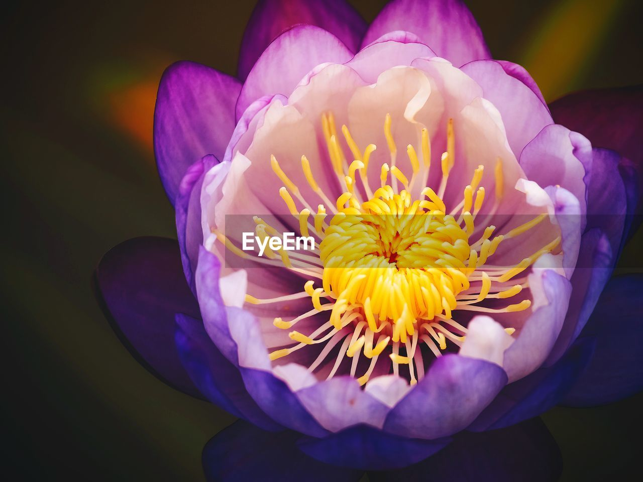 flower, petal, beauty in nature, flower head, nature, freshness, fragility, growth, purple, close-up, plant, blooming, outdoors, day, no people