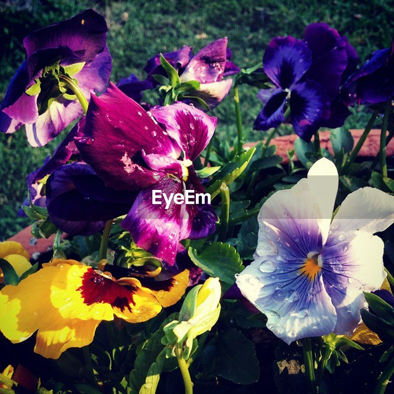 flower, petal, fragility, beauty in nature, flower head, purple, freshness, nature, growth, no people, plant, day, close-up, outdoors, springtime, iris - plant, blooming, petunia