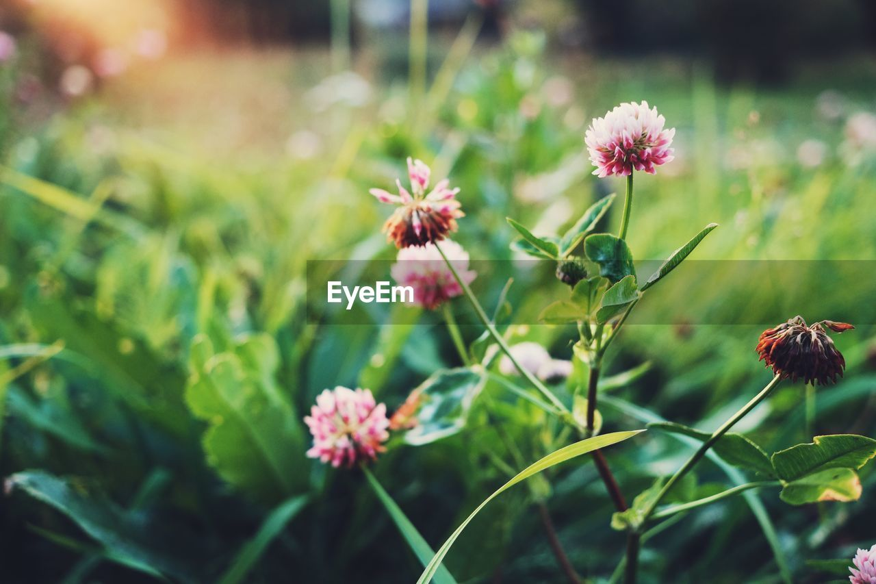 flower, flowering plant, plant, freshness, beauty in nature, fragility, vulnerability, growth, petal, flower head, close-up, inflorescence, nature, focus on foreground, no people, pink color, plant stem, day, selective focus, animal themes, outdoors, pollination