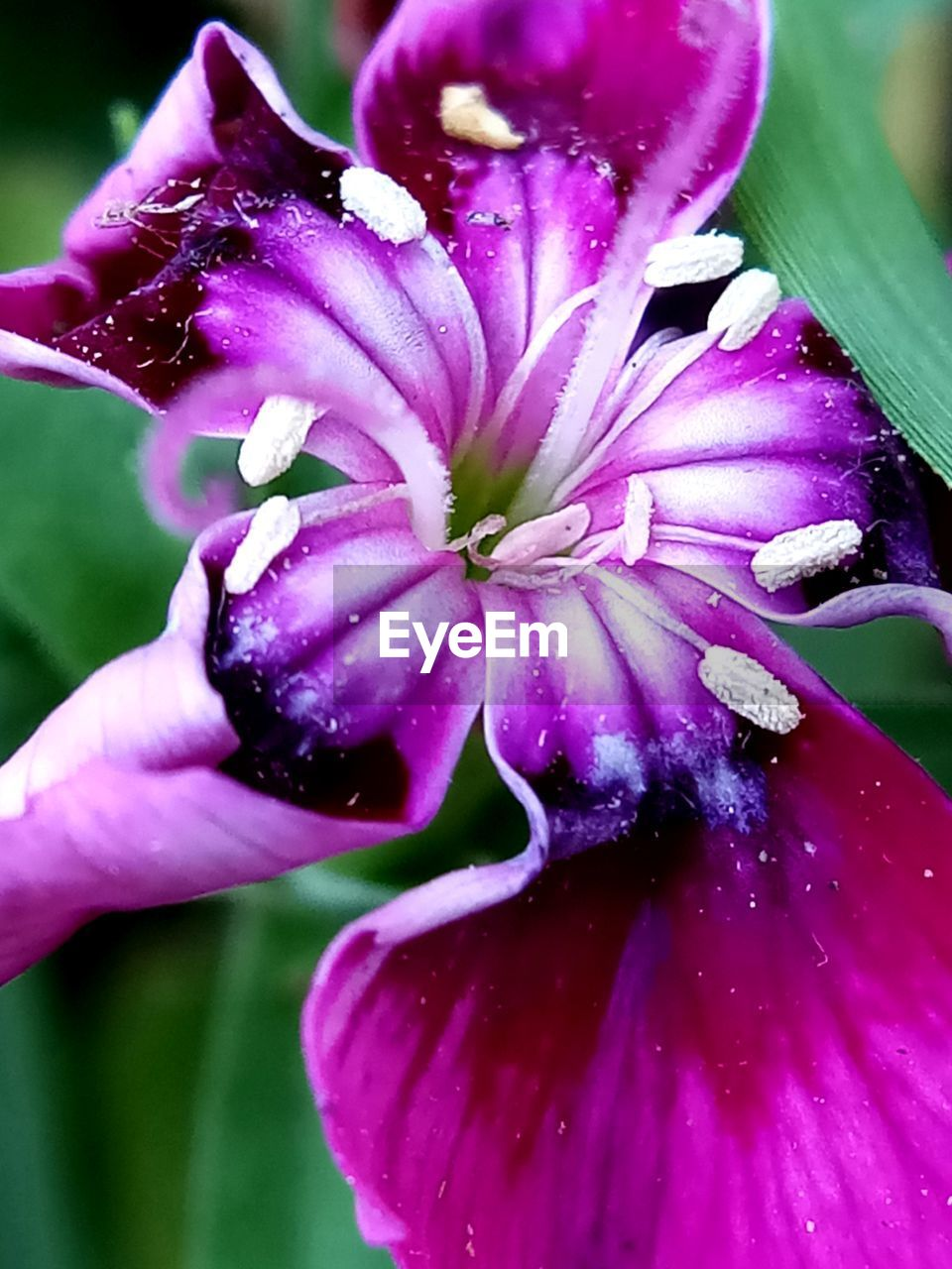 flower, petal, fragility, freshness, beauty in nature, flower head, nature, growth, purple, plant, outdoors, close-up, drop, day, wet, blooming, water, pink color, no people, petunia, passion flower