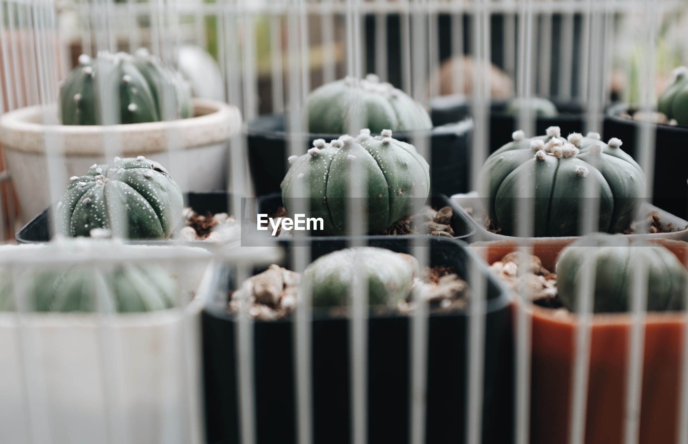 A close up shot of a cactus in a pot arranged in a row in a white cage