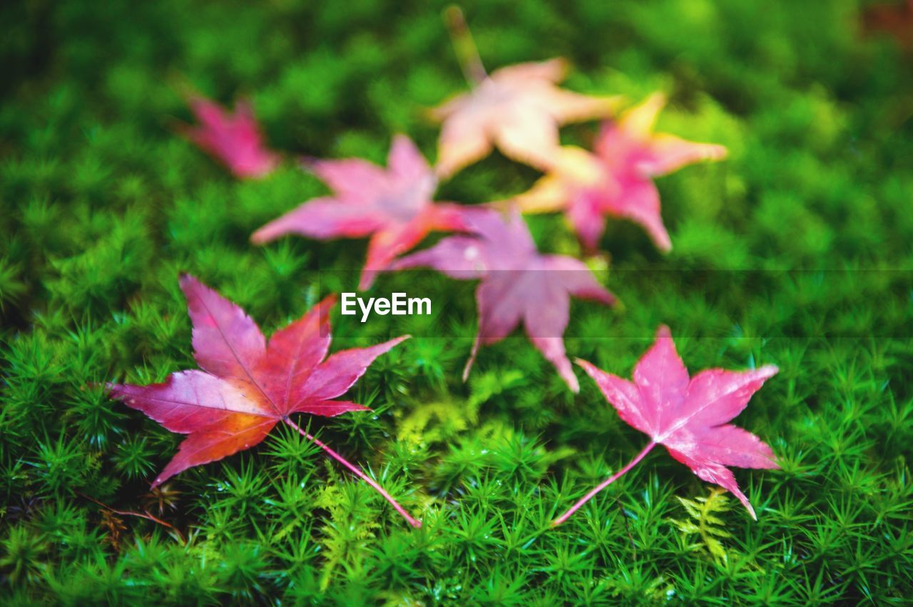 leaf, nature, fragility, no people, growth, close-up, beauty in nature, flower, day, plant, outdoors, grass, maple, freshness, flower head