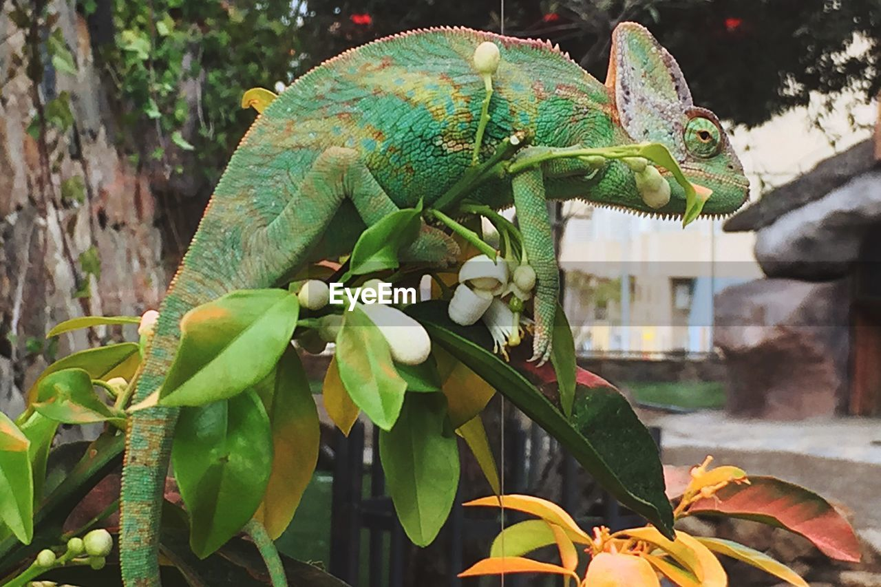 green color, leaf, day, tree, nature, focus on foreground, no people, outdoors, growth, plant, close-up, one animal, reptile, animal themes, chameleon, beauty in nature