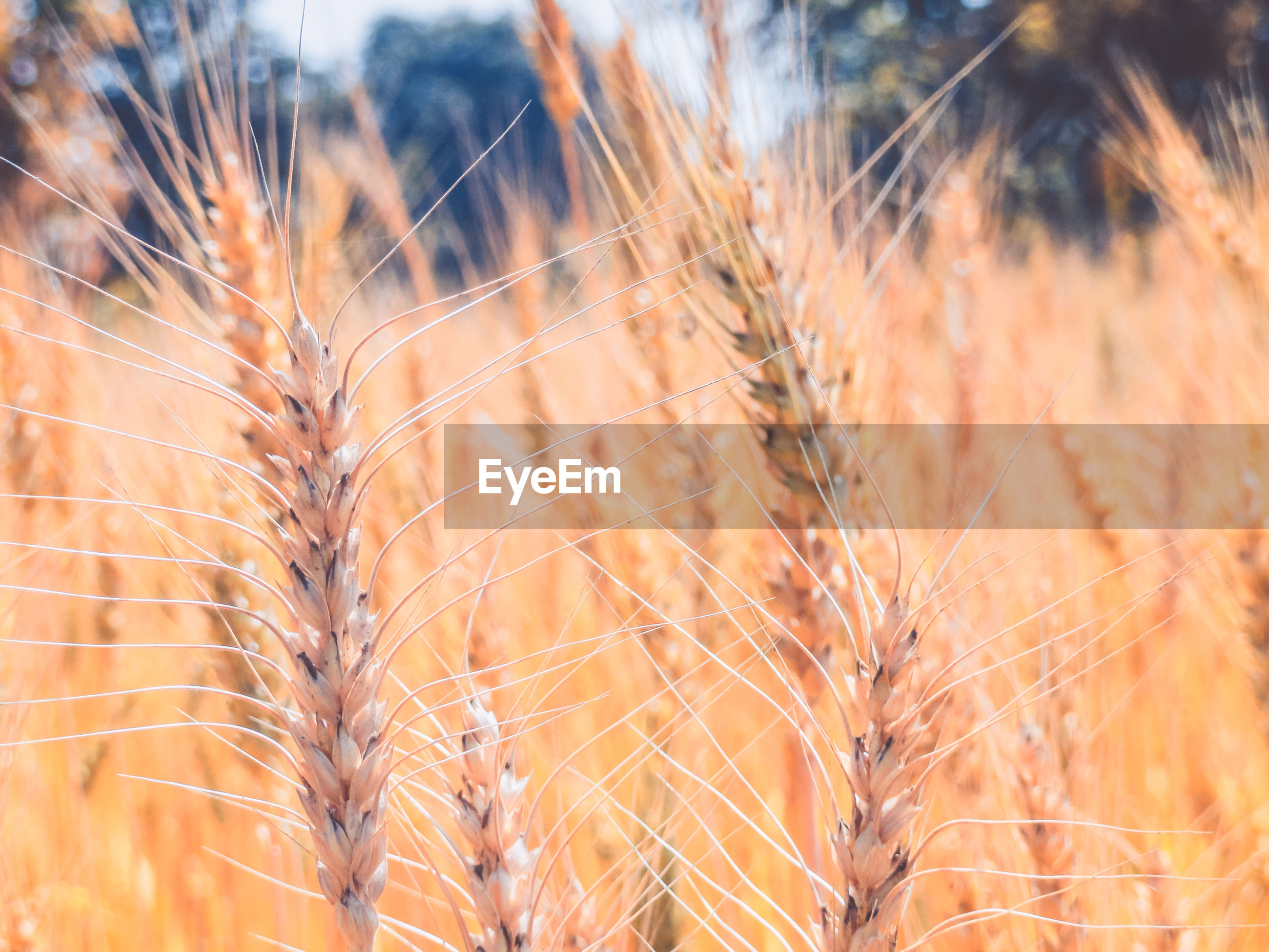 Close-up of wheat crops growing on field