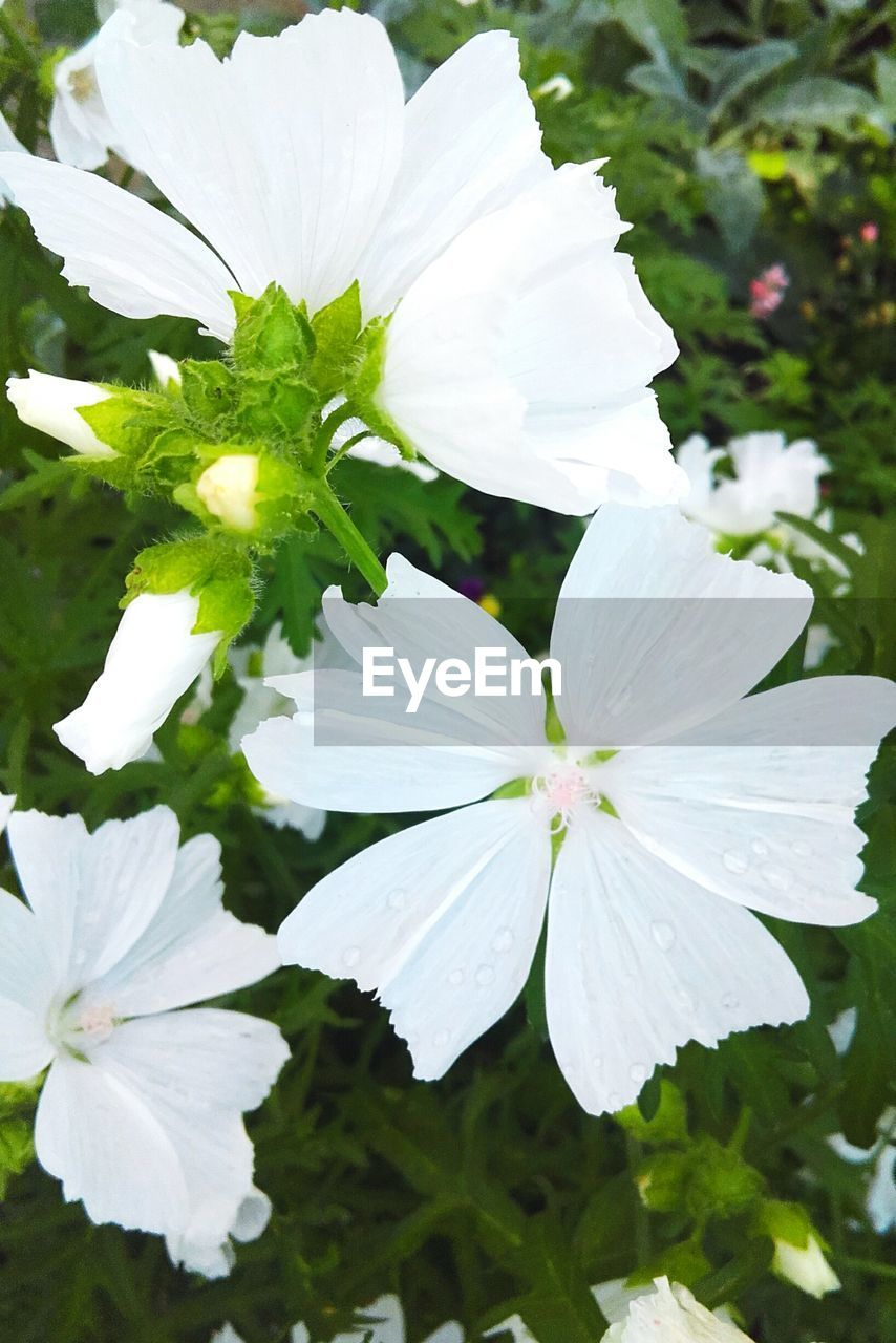 white color, beauty in nature, petal, flower, nature, growth, fragility, day, freshness, no people, outdoors, plant, blooming, flower head, close-up, periwinkle