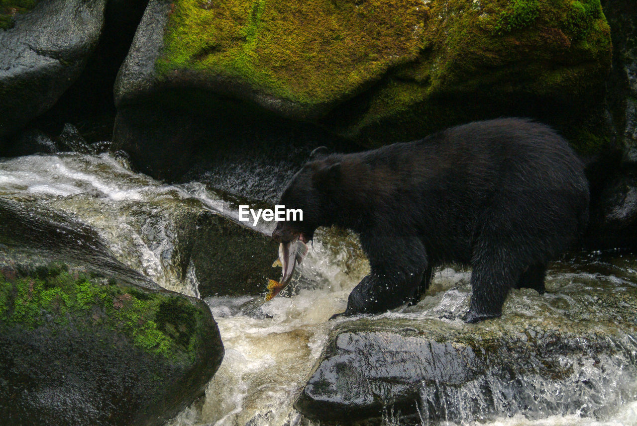 Side View Of Bear Standing On Rock By River