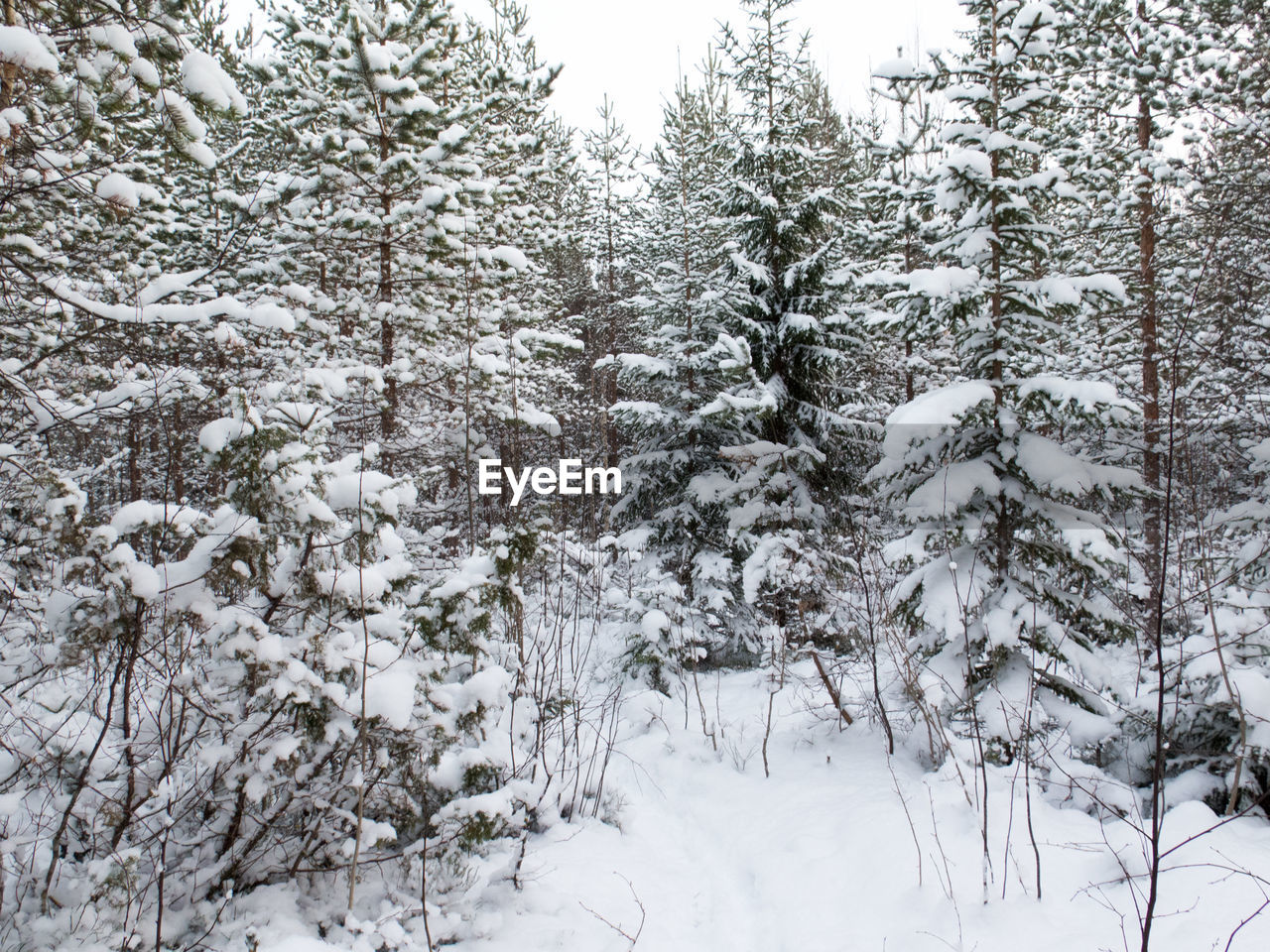 Trees And Field Covered With Snow In Forest