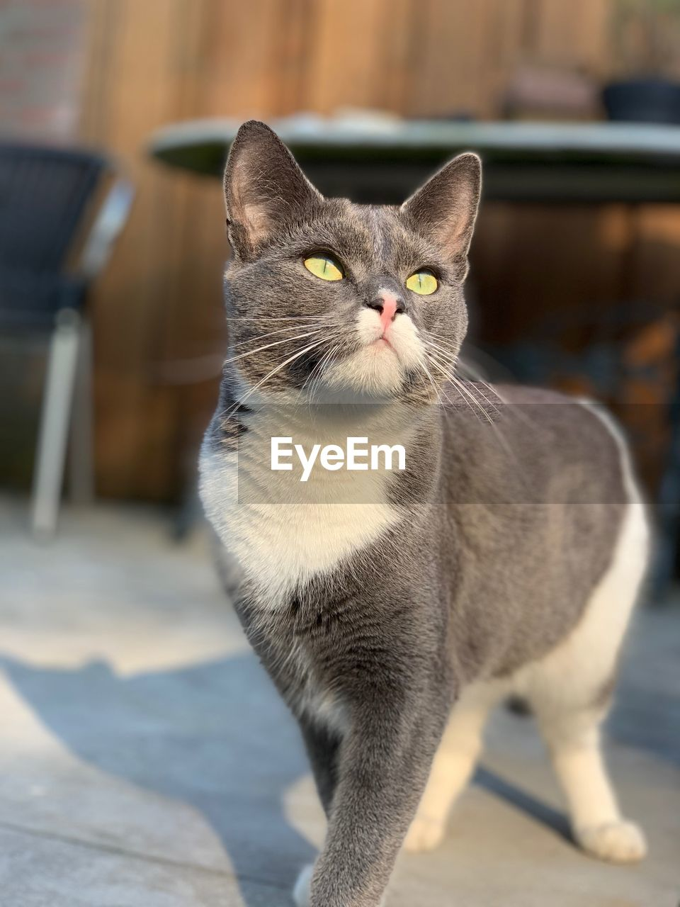 pets, domestic, domestic animals, mammal, domestic cat, cat, focus on foreground, one animal, feline, vertebrate, no people, portrait, close-up, looking at camera, whisker, indoors, day, yellow eyes