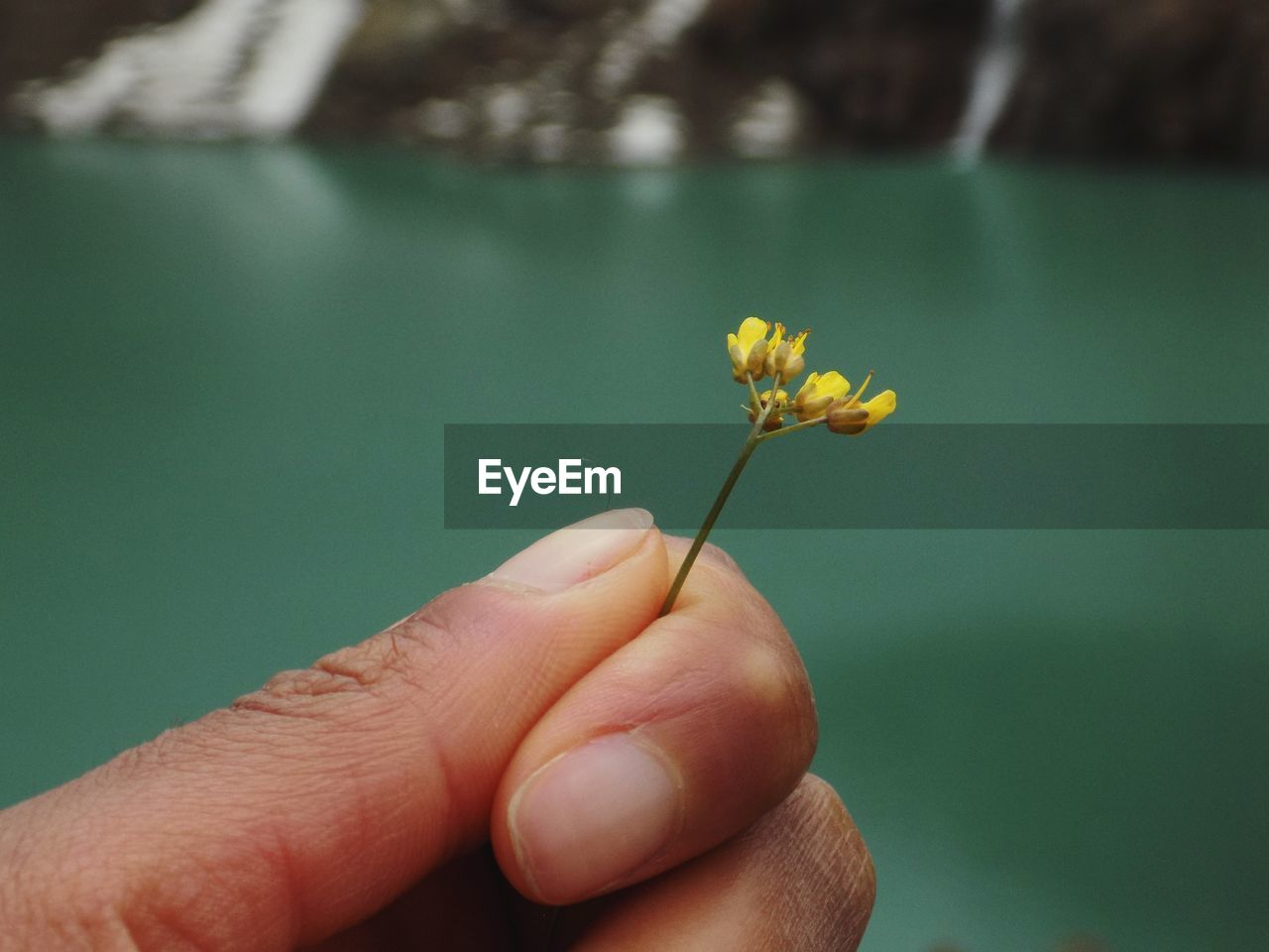 Cropped Hand Holding Yellow Flower Outdoors