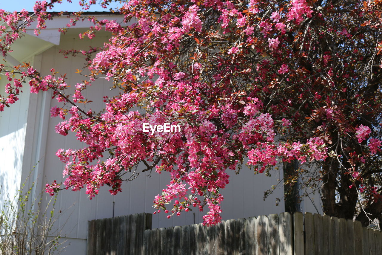 growth, pink color, tree, flower, fragility, beauty in nature, nature, blossom, day, building exterior, architecture, no people, branch, springtime, outdoors, built structure, freshness, low angle view, pink, bougainvillea, blooming, close-up, sky