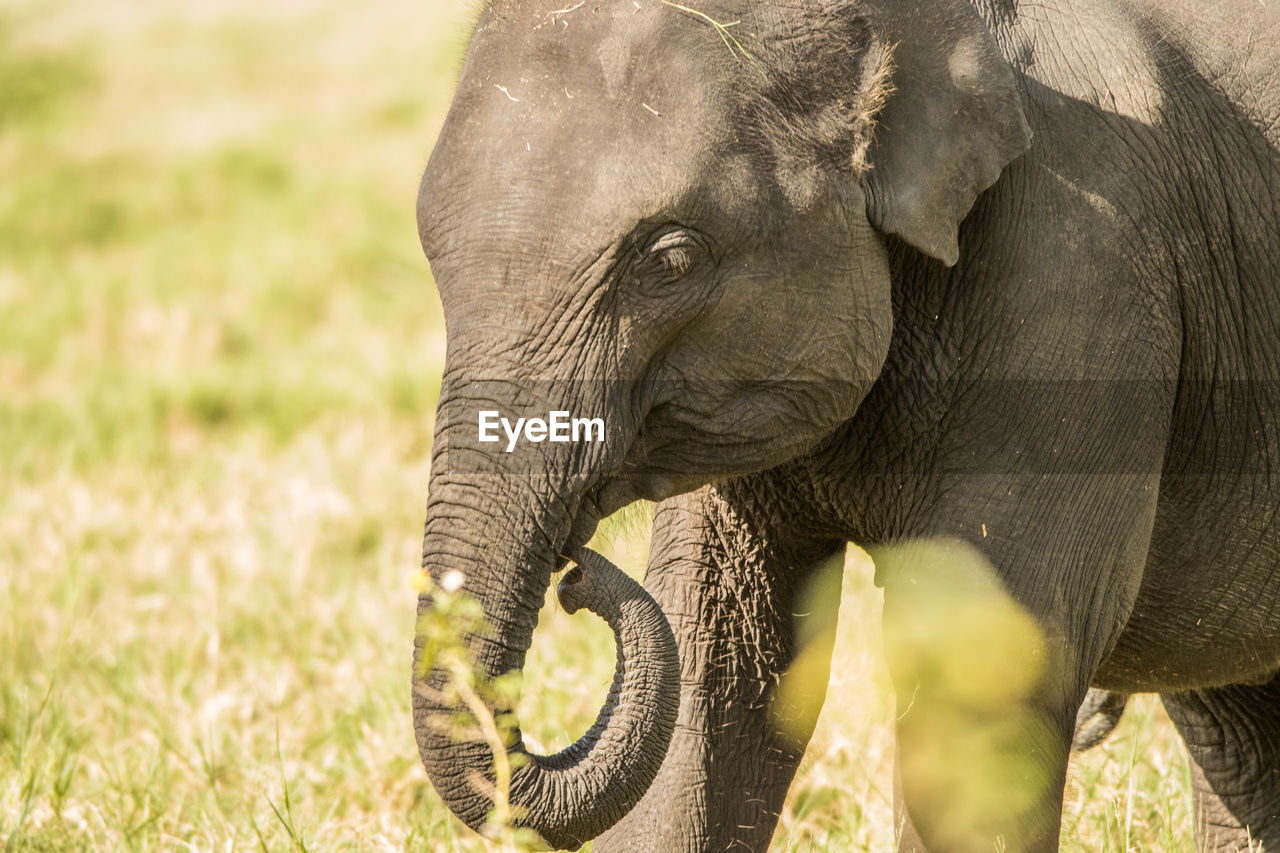 SIDE VIEW OF ELEPHANT IN GRASS