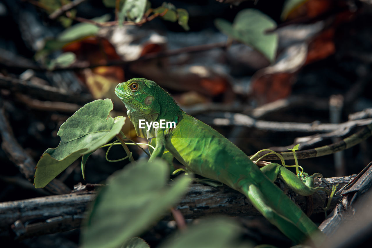 animal themes, animal, one animal, animals in the wild, green color, plant part, vertebrate, leaf, animal wildlife, plant, lizard, selective focus, reptile, nature, close-up, no people, day, outdoors, amphibian, looking, iguana, animal scale