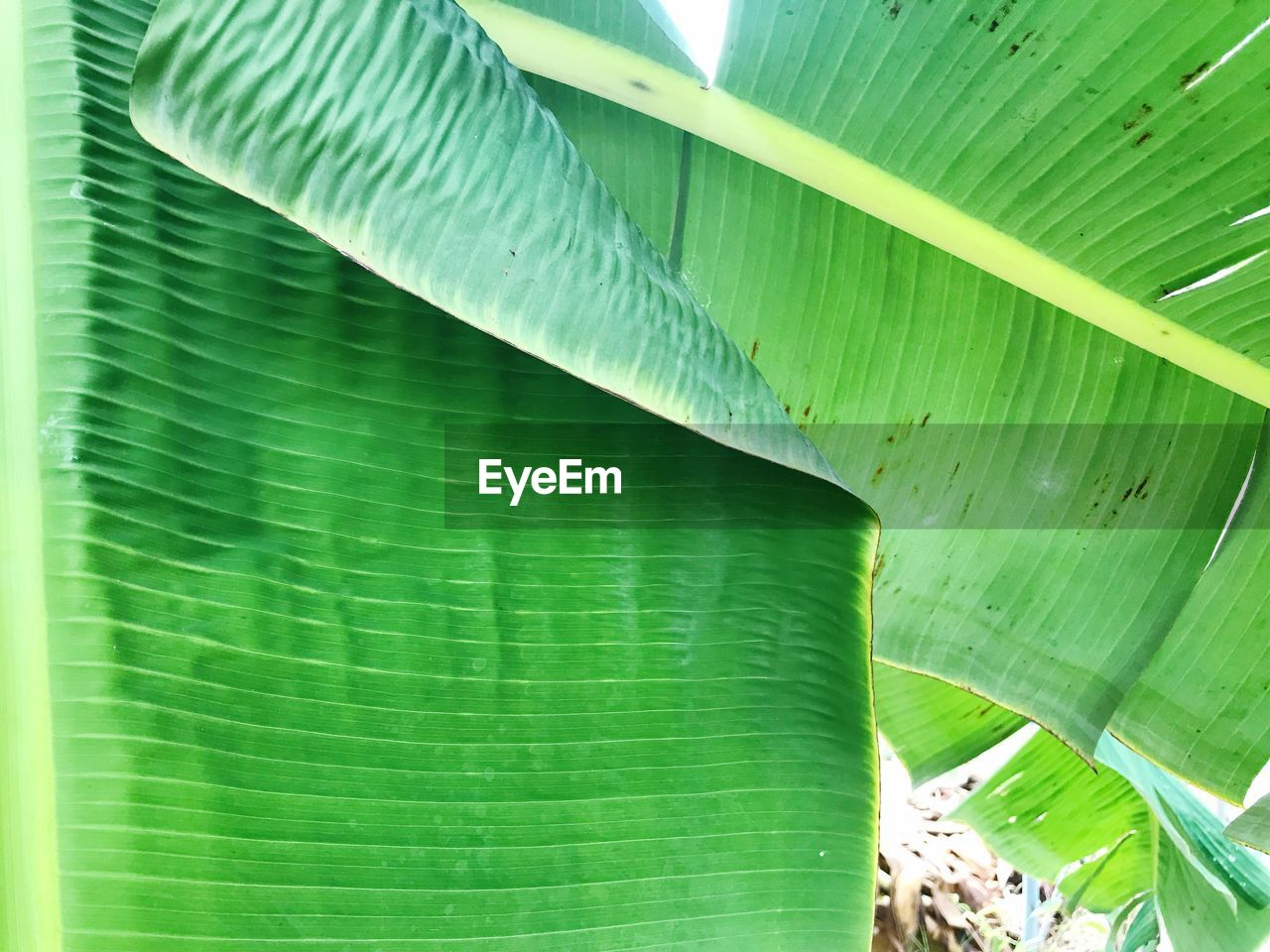 green color, leaf, plant part, plant, growth, close-up, no people, banana leaf, beauty in nature, nature, day, leaves, full frame, pattern, natural pattern, outdoors, banana tree, backgrounds, freshness, tree, palm leaf, bamboo - plant
