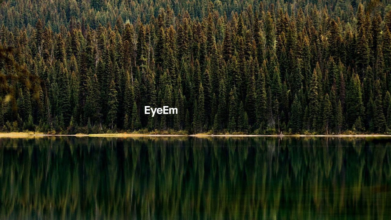 Pine Trees Reflecting In Lake
