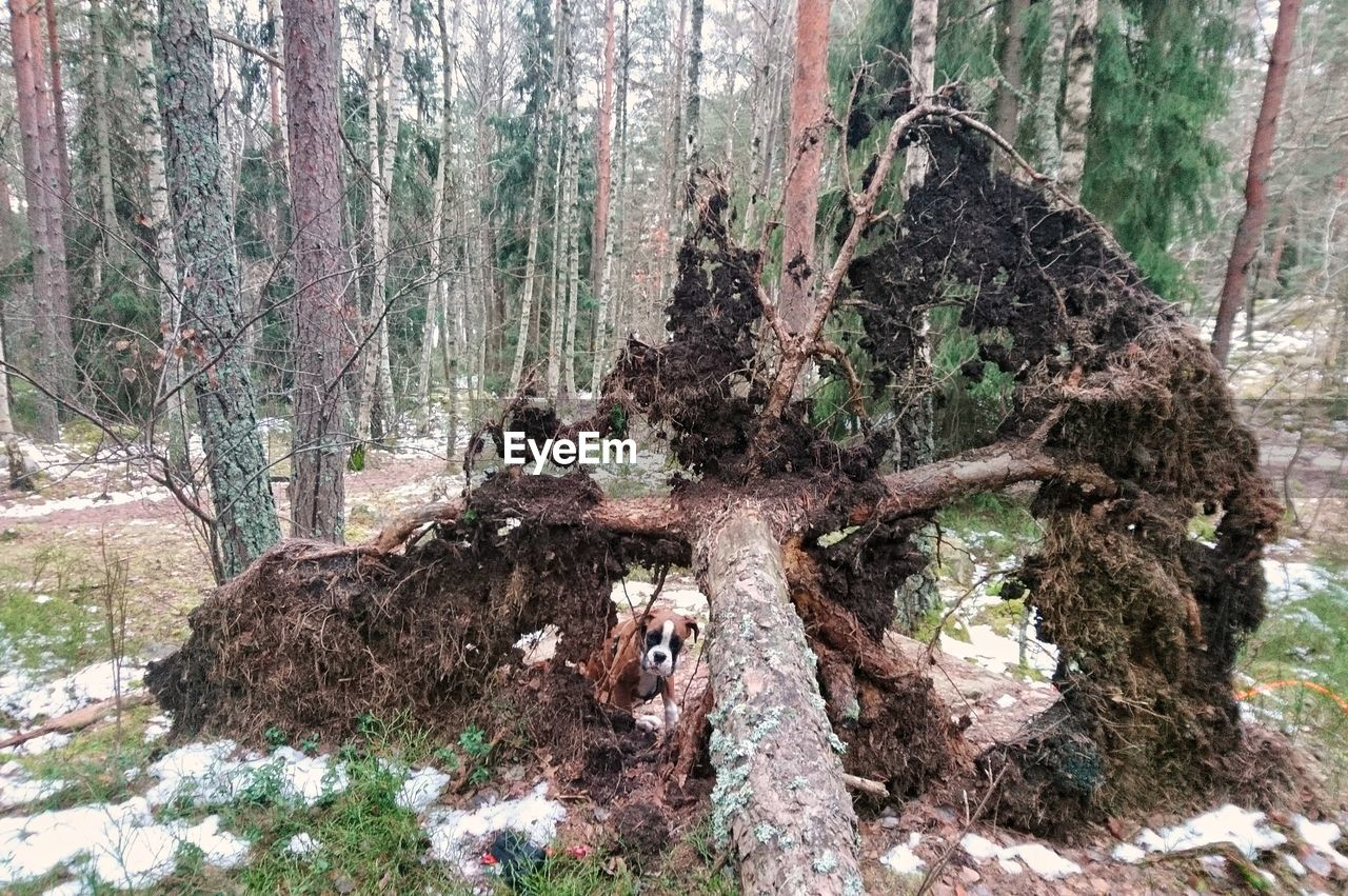 tree trunk, tree, forest, nature, day, growth, branch, no people, outdoors, moss, destruction, dead tree