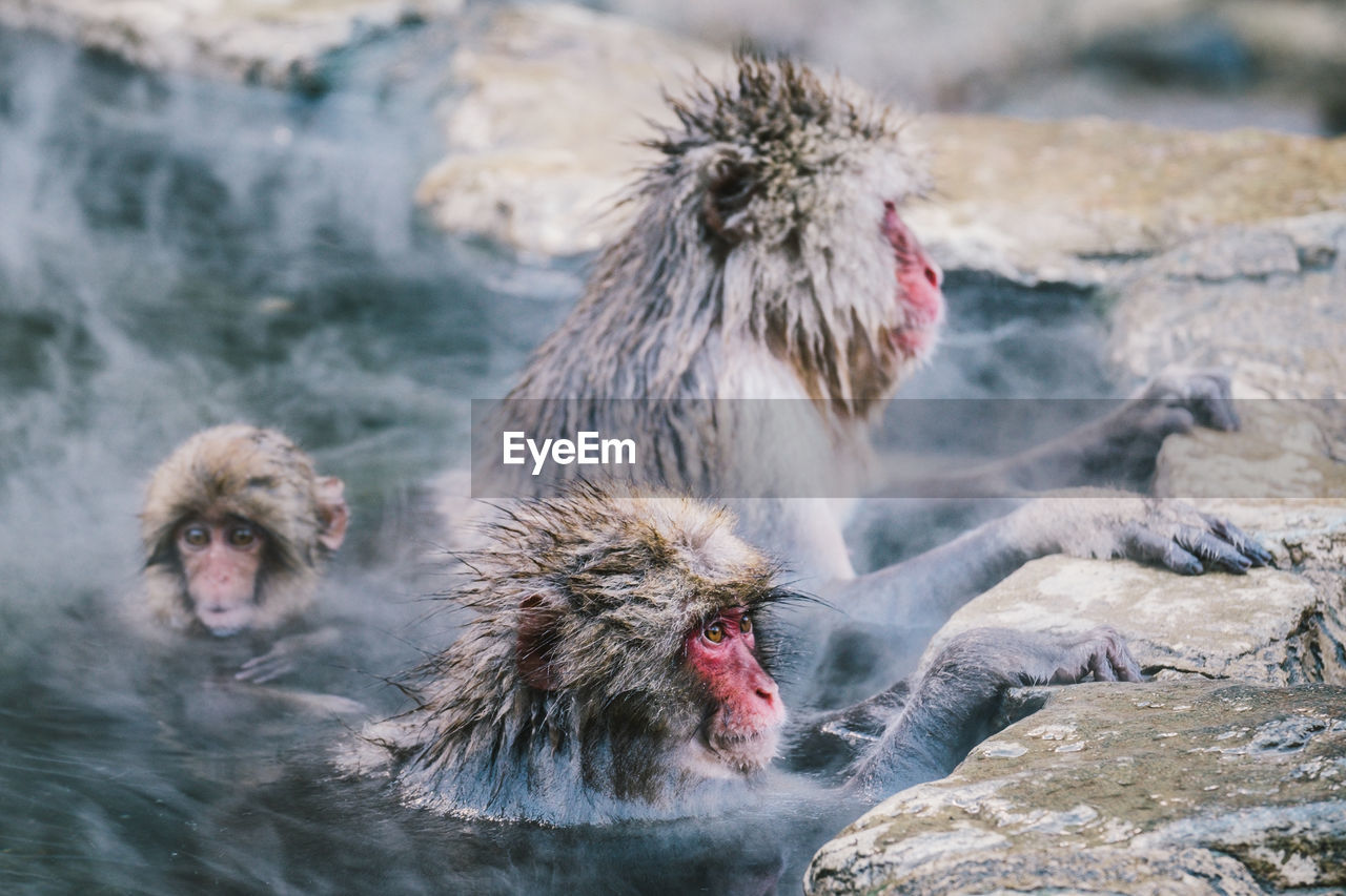 Japanese Macaques In Hot Spring