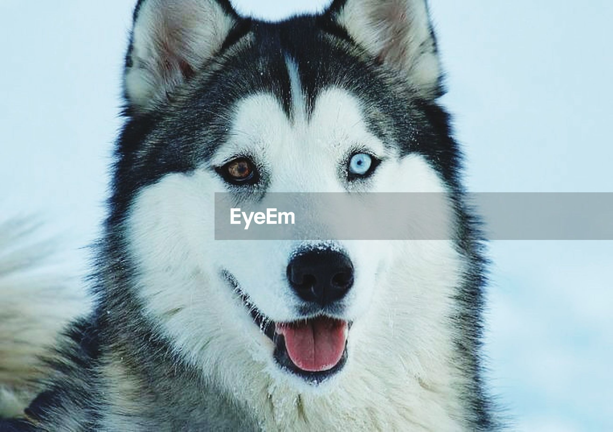 animal themes, one animal, domestic animals, pets, mammal, portrait, dog, looking at camera, animal head, close-up, white color, animal body part, front view, snow, animal hair, winter, focus on foreground, mouth open, animal eye, no people