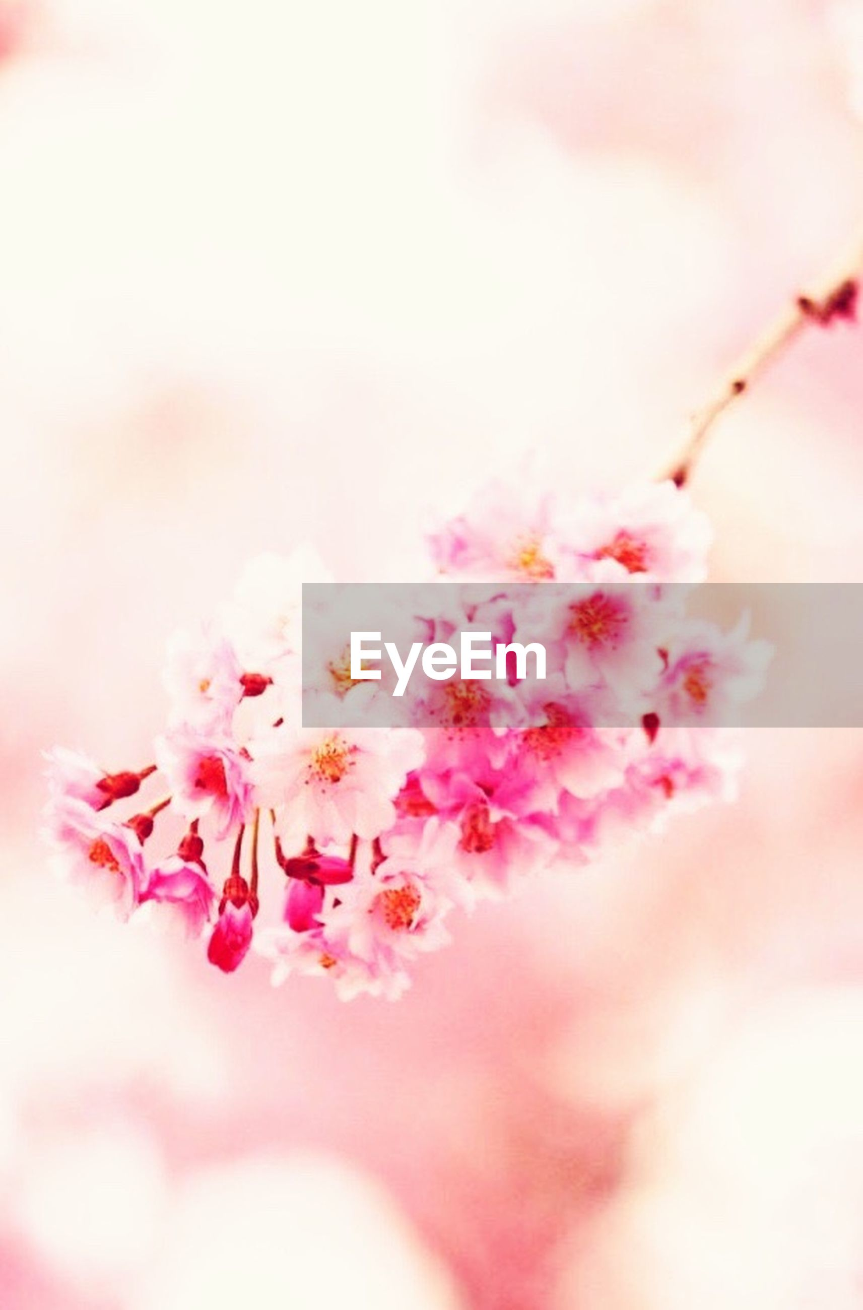 flower, pink color, selective focus, fragility, petal, close-up, freshness, beauty in nature, focus on foreground, nature, growth, pink, day, outdoors, branch, no people, blooming, red, twig, blossom