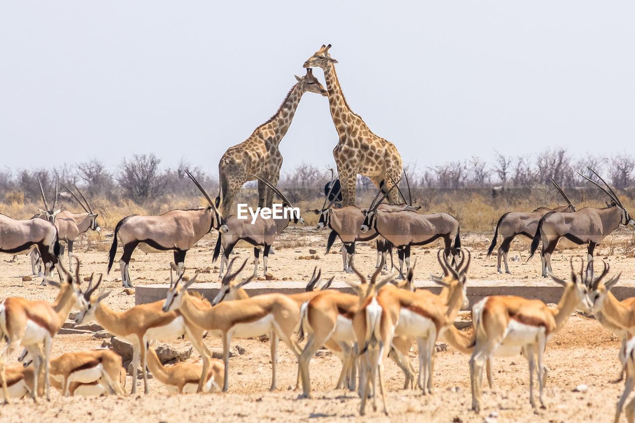 Giraffes against clear sky