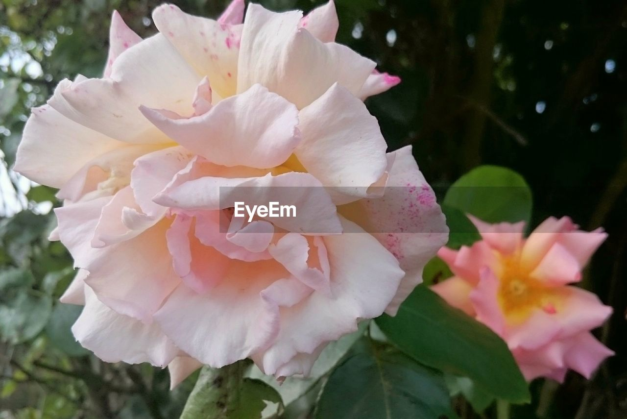 flower, flowering plant, plant, petal, beauty in nature, fragility, vulnerability, freshness, close-up, inflorescence, pink color, growth, flower head, nature, no people, rose, focus on foreground, day, white color, outdoors, pollen