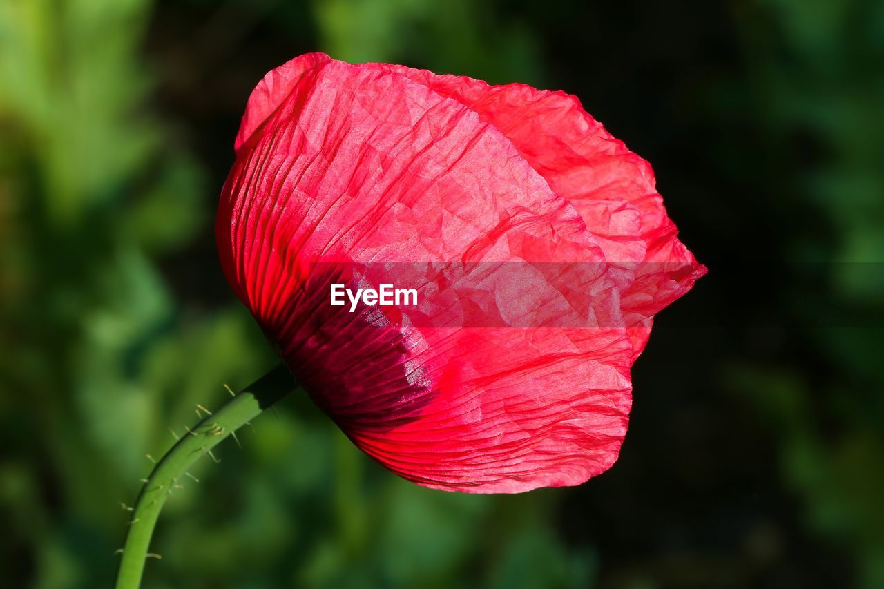 vulnerability, flowering plant, fragility, red, petal, flower, close-up, beauty in nature, plant, freshness, flower head, inflorescence, growth, focus on foreground, nature, day, no people, outdoors, plant stem, sepal