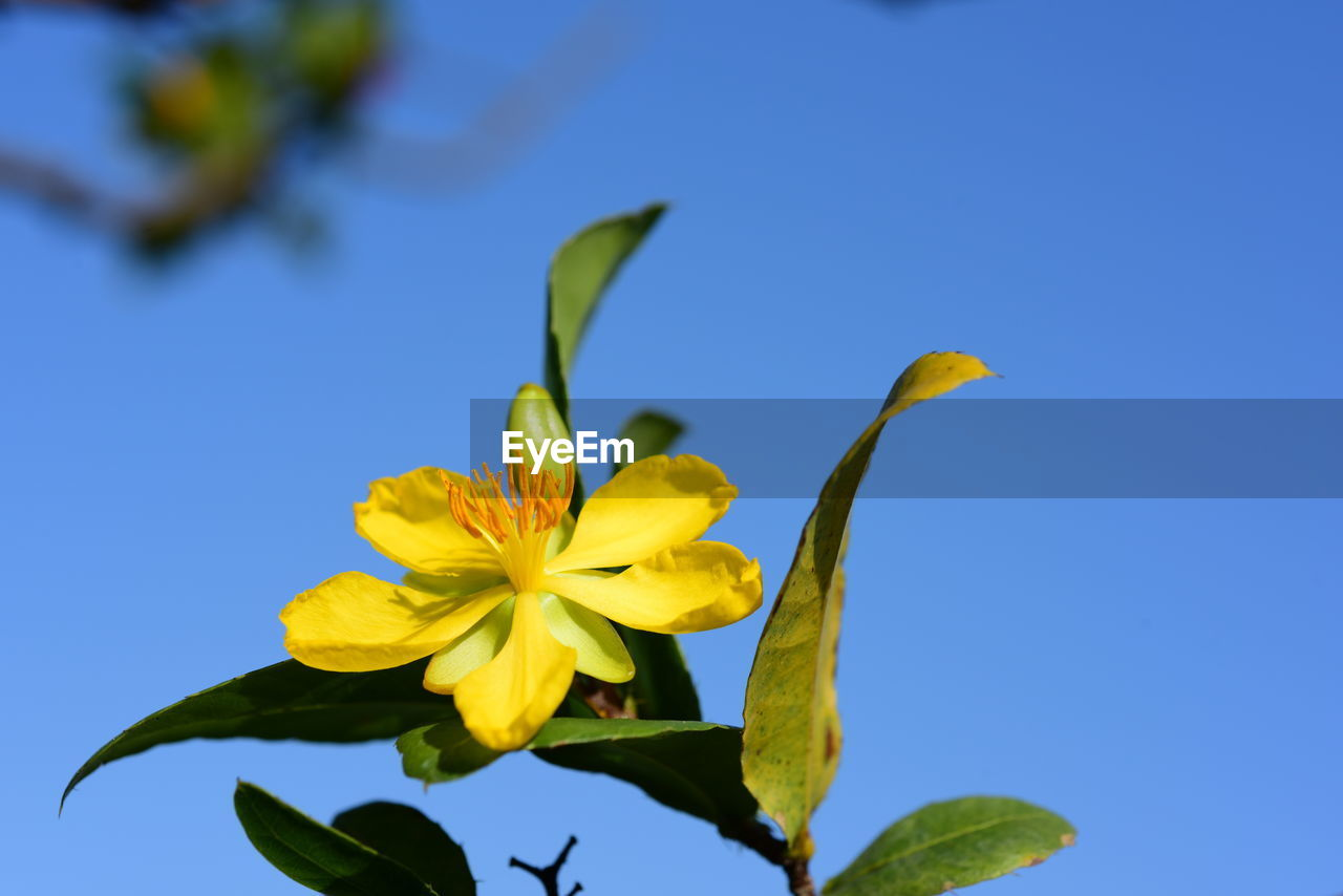 flower, flowering plant, beauty in nature, plant, fragility, vulnerability, blue, petal, freshness, yellow, nature, growth, flower head, close-up, inflorescence, sky, no people, clear sky, day, leaf, pollen, blue background