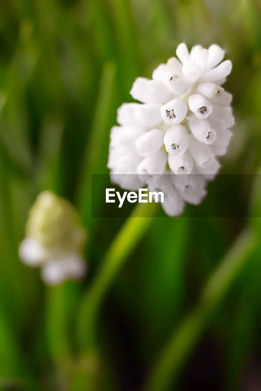 flower, white color, fragility, nature, growth, petal, beauty in nature, plant, no people, freshness, close-up, flower head, focus on foreground, blooming, outdoors, day