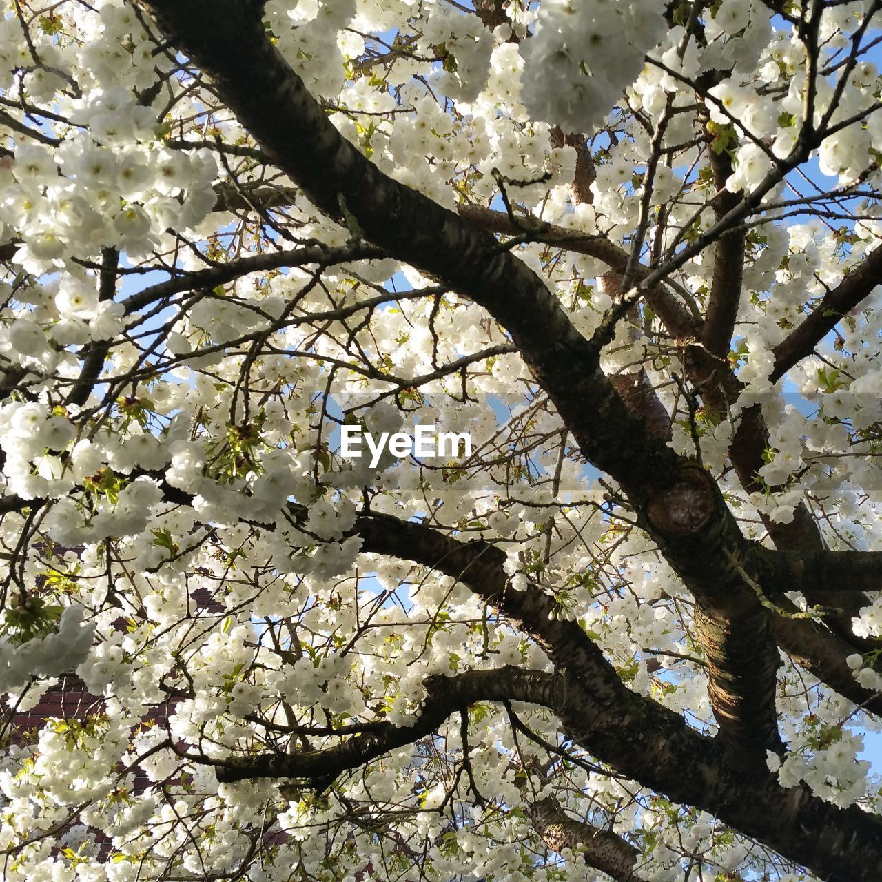 tree, flower, blossom, branch, springtime, growth, apple blossom, beauty in nature, fragility, cherry blossom, apple tree, nature, orchard, almond tree, freshness, botany, cherry tree, white color, low angle view, twig, magnolia, no people, petal, backgrounds, day, spring, outdoors, flower head, close-up