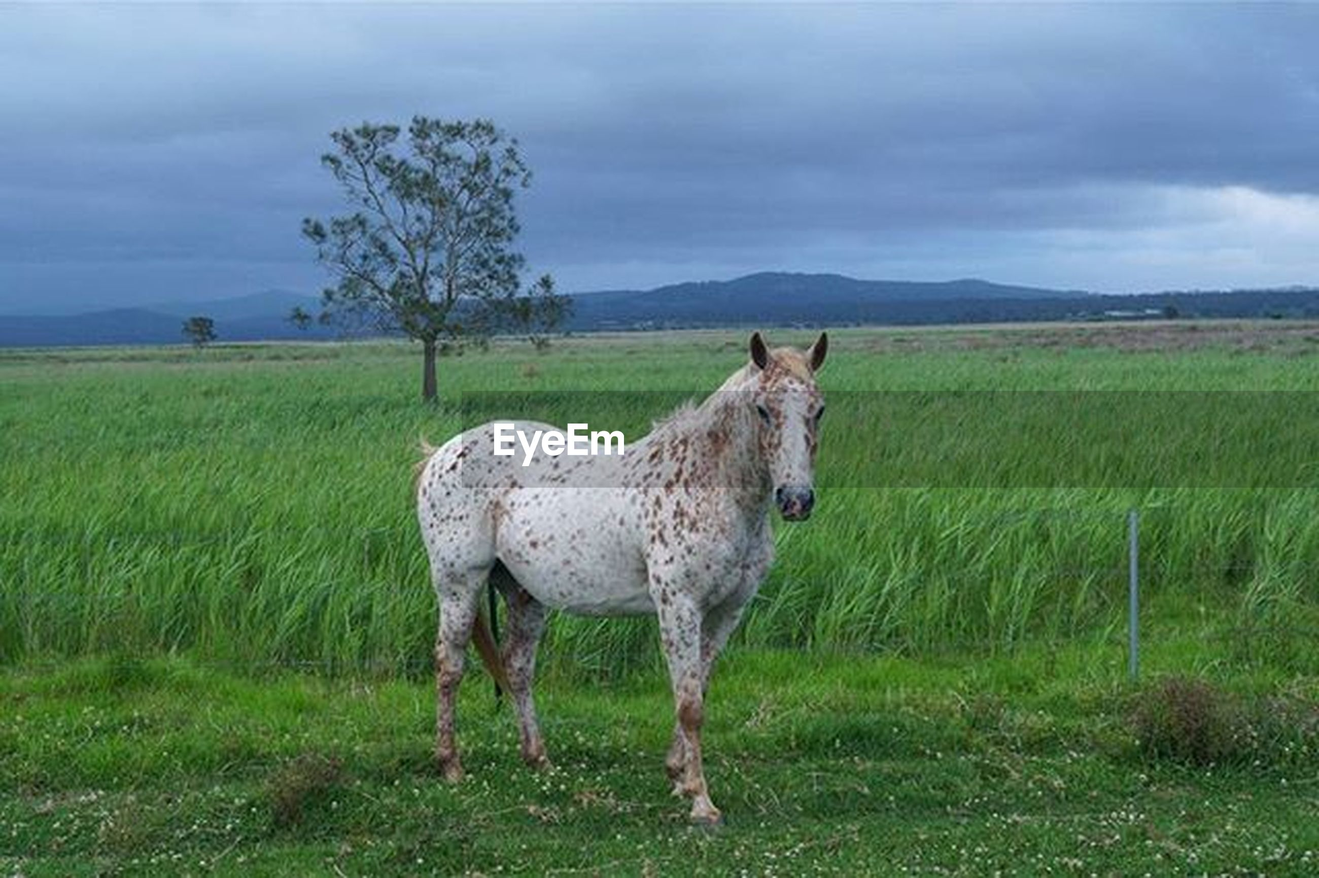 animal themes, grass, field, sky, landscape, livestock, mammal, grassy, domestic animals, cloud - sky, grazing, standing, one animal, nature, horse, pasture, tranquility, cloudy, tranquil scene, herbivorous