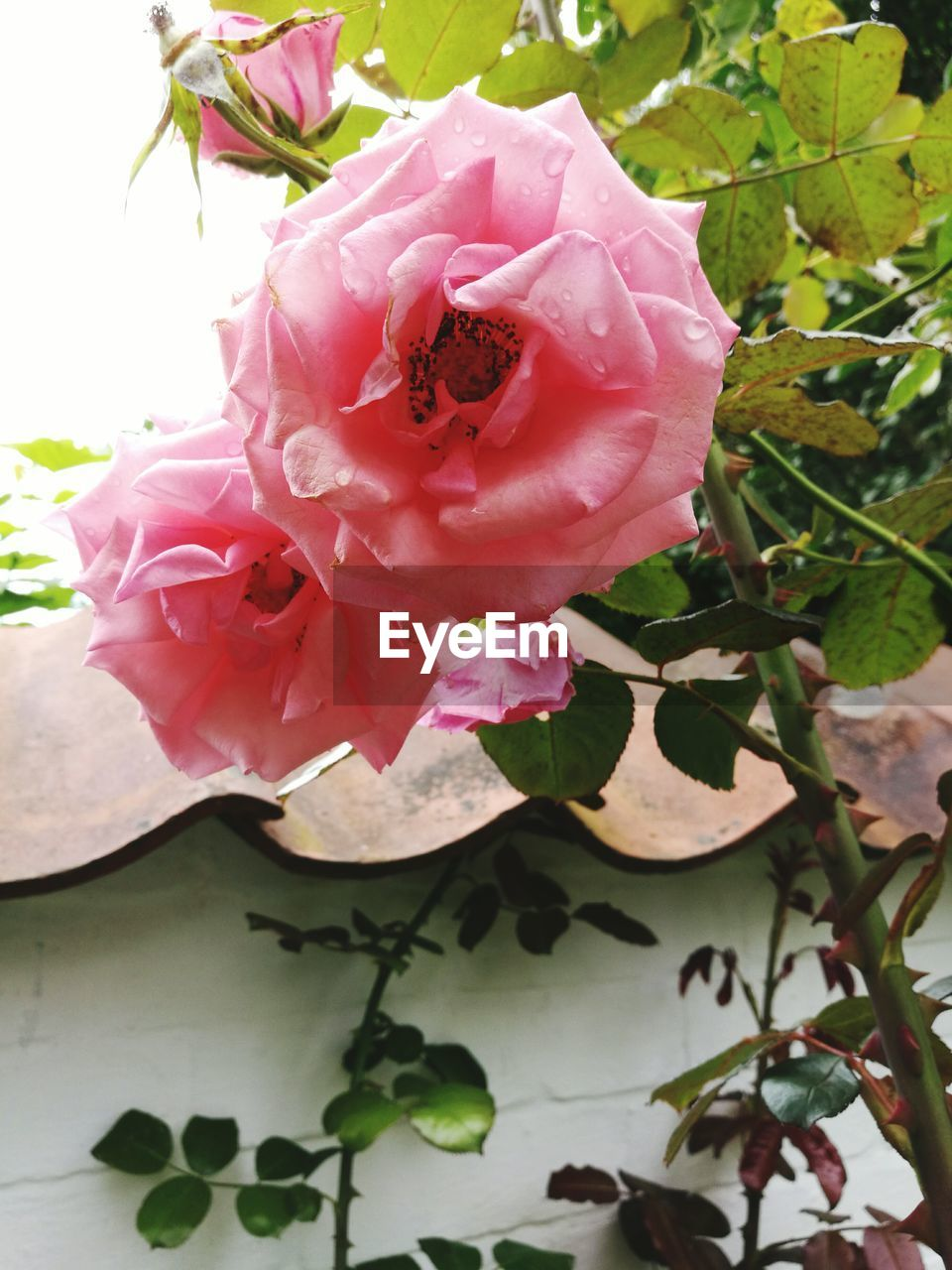 flower, petal, rose - flower, pink color, nature, no people, plant, day, growth, outdoors, fragility, beauty in nature, wild rose, flower head, close-up, freshness