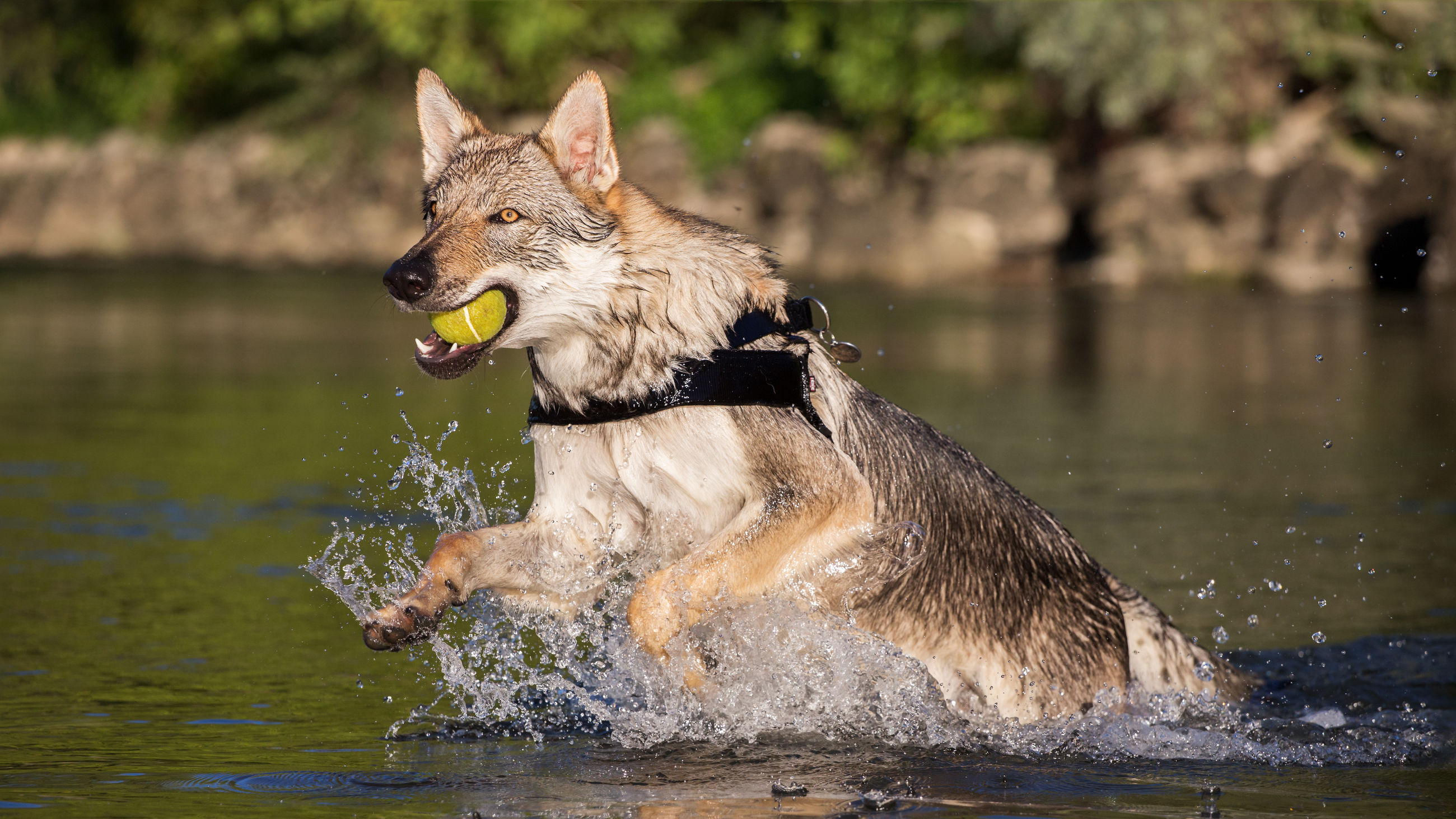 Czechoslovakian wolfdog retrieving a ball from water, italy