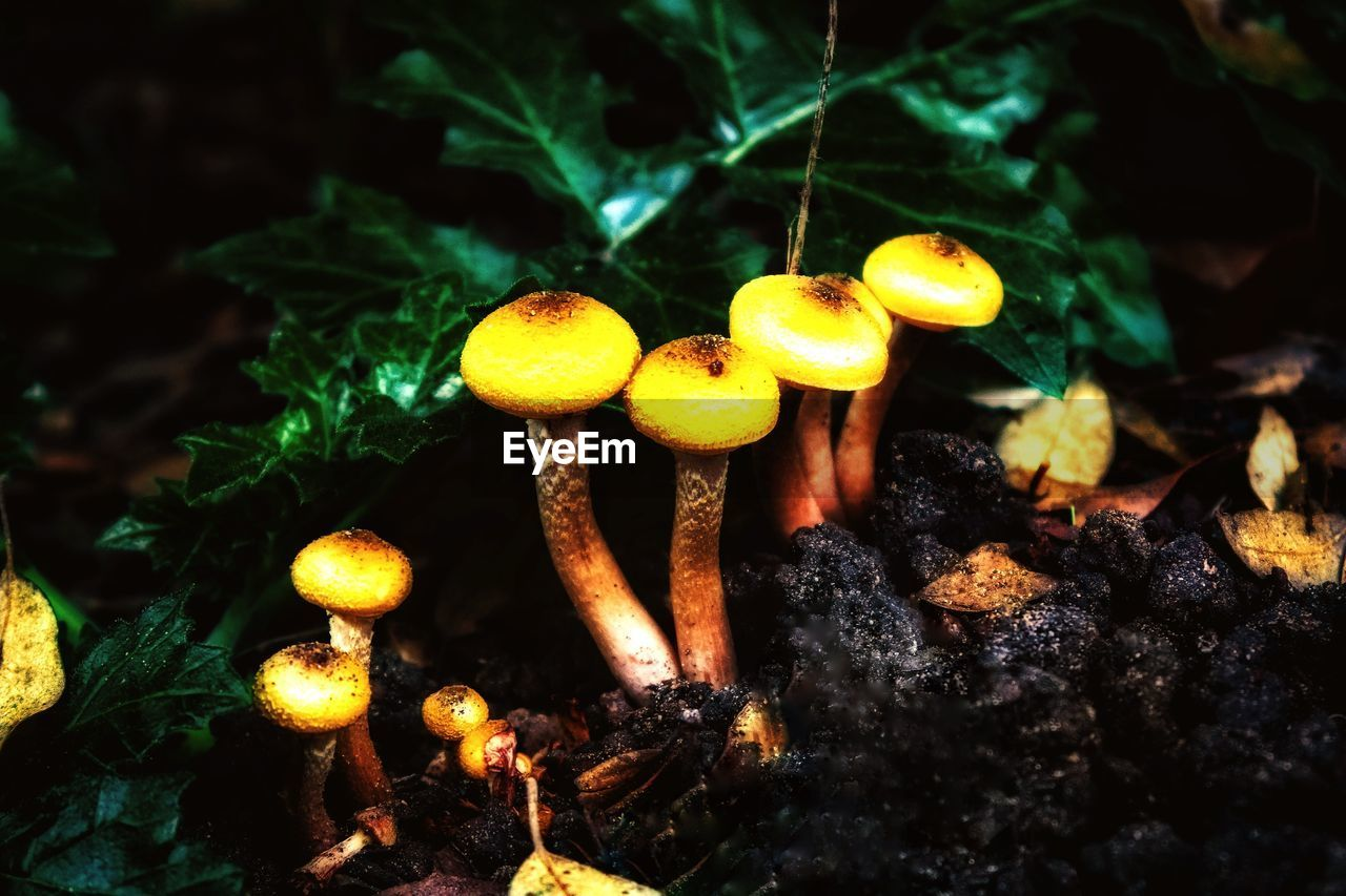 CLOSE-UP OF MUSHROOM GROWING ON PLANT AT NIGHT