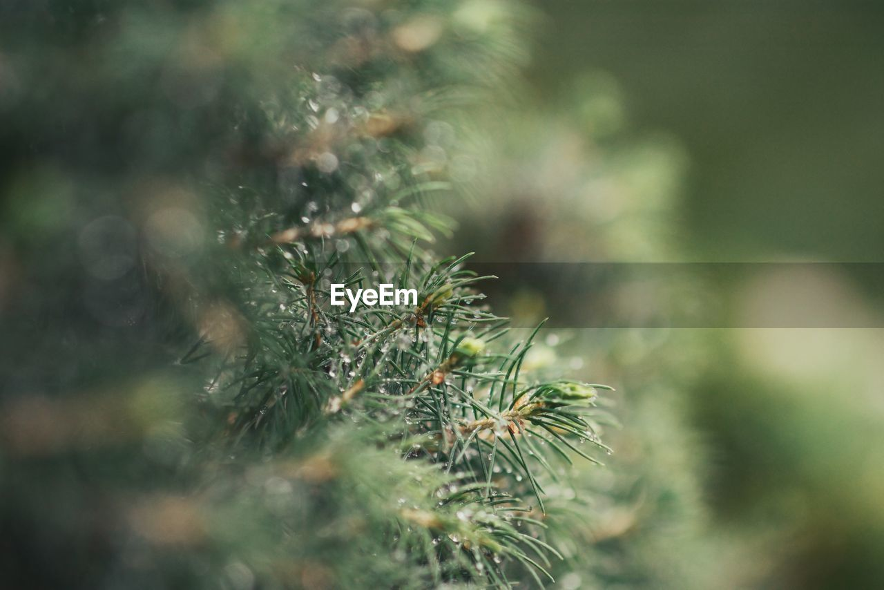 plant, growth, selective focus, no people, green color, day, close-up, beauty in nature, nature, tranquility, tree, outdoors, coniferous tree, focus on foreground, fragility, vulnerability, freshness, land, pine tree, needle - plant part, spiky, fir tree