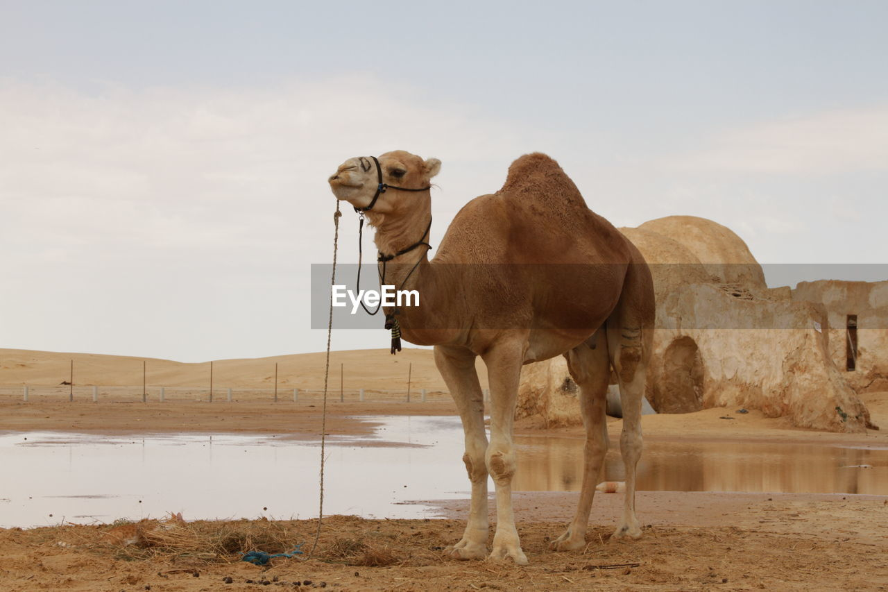 animal, animal themes, mammal, sky, land, domestic animals, environment, animal wildlife, nature, pets, domestic, landscape, livestock, group of animals, vertebrate, camel, desert, day, standing, no people, outdoors, herbivorous, arid climate, climate