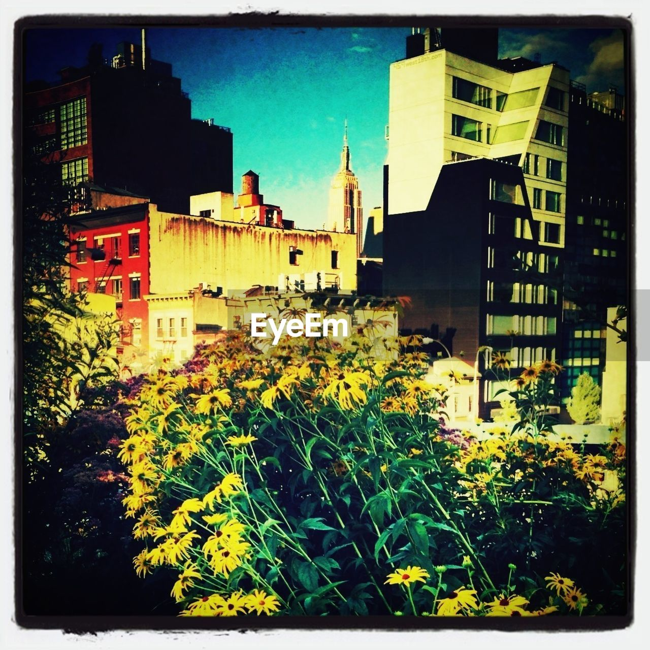 Yellow blackeyed susan flowers with city in background