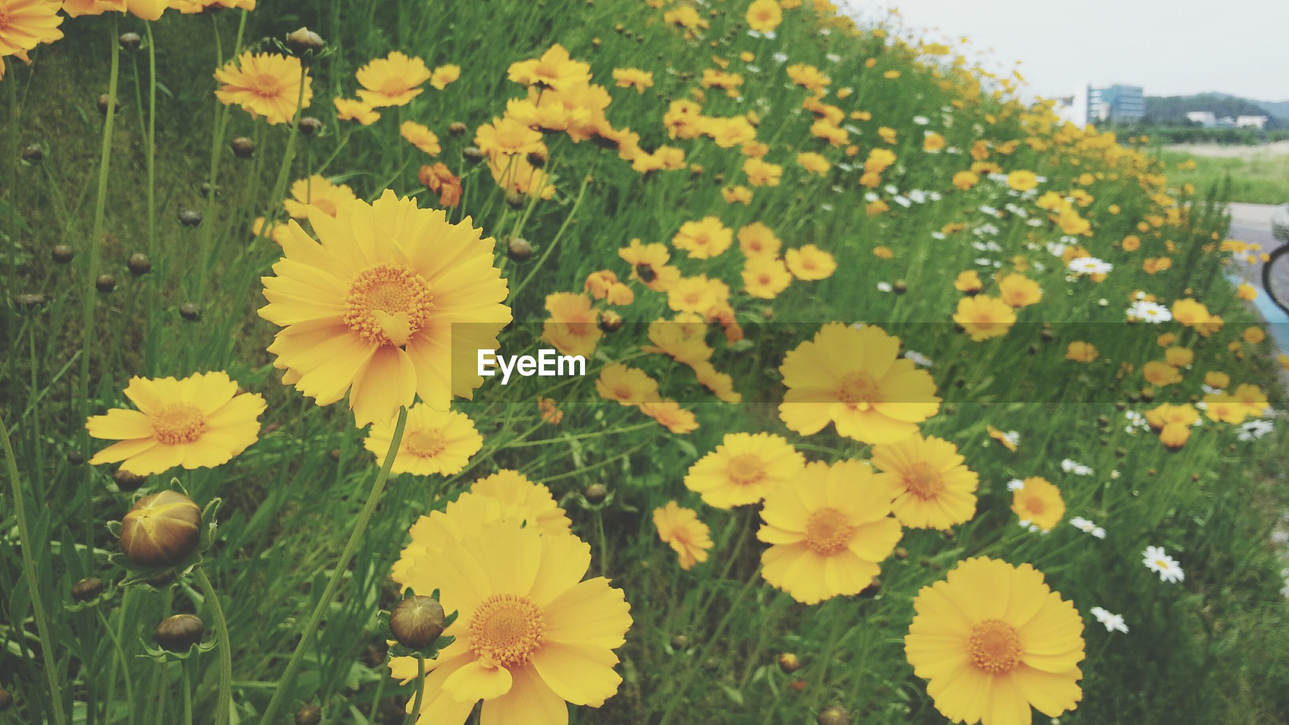 flower, freshness, fragility, petal, yellow, flower head, growth, beauty in nature, blooming, plant, nature, in bloom, field, high angle view, blossom, pollen, close-up, focus on foreground, day, park - man made space