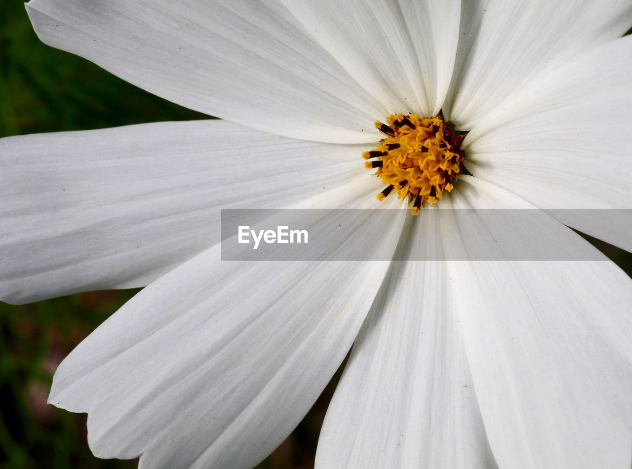 flower, white color, petal, fragility, pollen, nature, freshness, beauty in nature, flower head, growth, no people, outdoors, day, close-up, plant, osteospermum