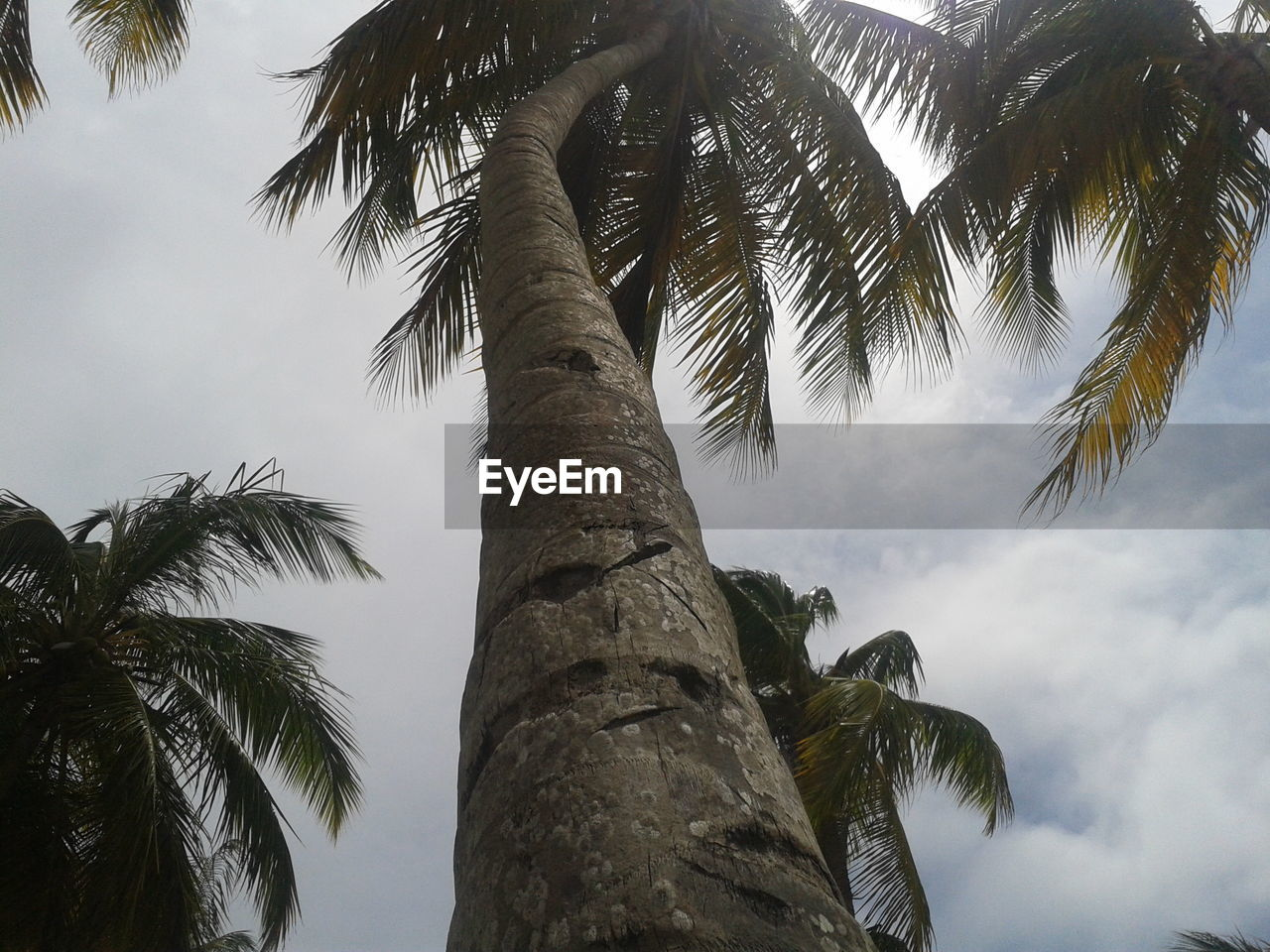 palm tree, tree, tree trunk, low angle view, nature, sky, growth, beauty in nature, palm frond, day, outdoors, tranquility, scenics, no people, branch