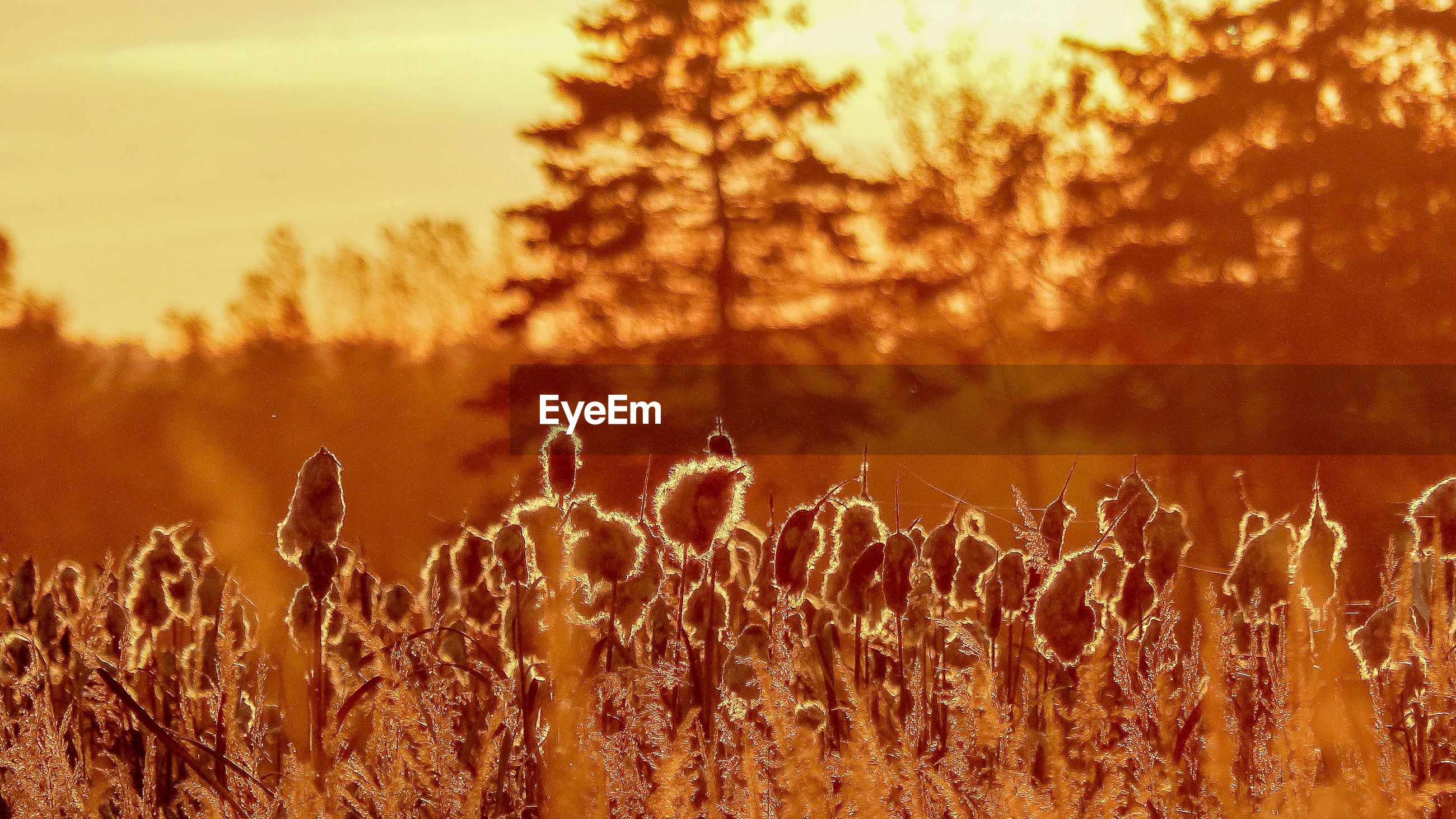 PLANTS ON FIELD AGAINST SKY DURING SUNSET
