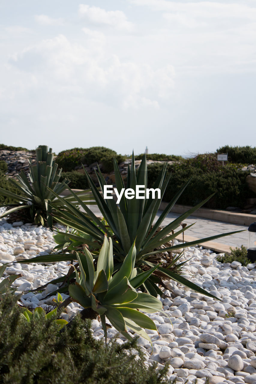 plant, growth, sky, nature, beauty in nature, no people, day, cloud - sky, land, green color, tranquility, field, succulent plant, tranquil scene, cactus, landscape, outdoors, rock, freshness, scenics - nature, pebble