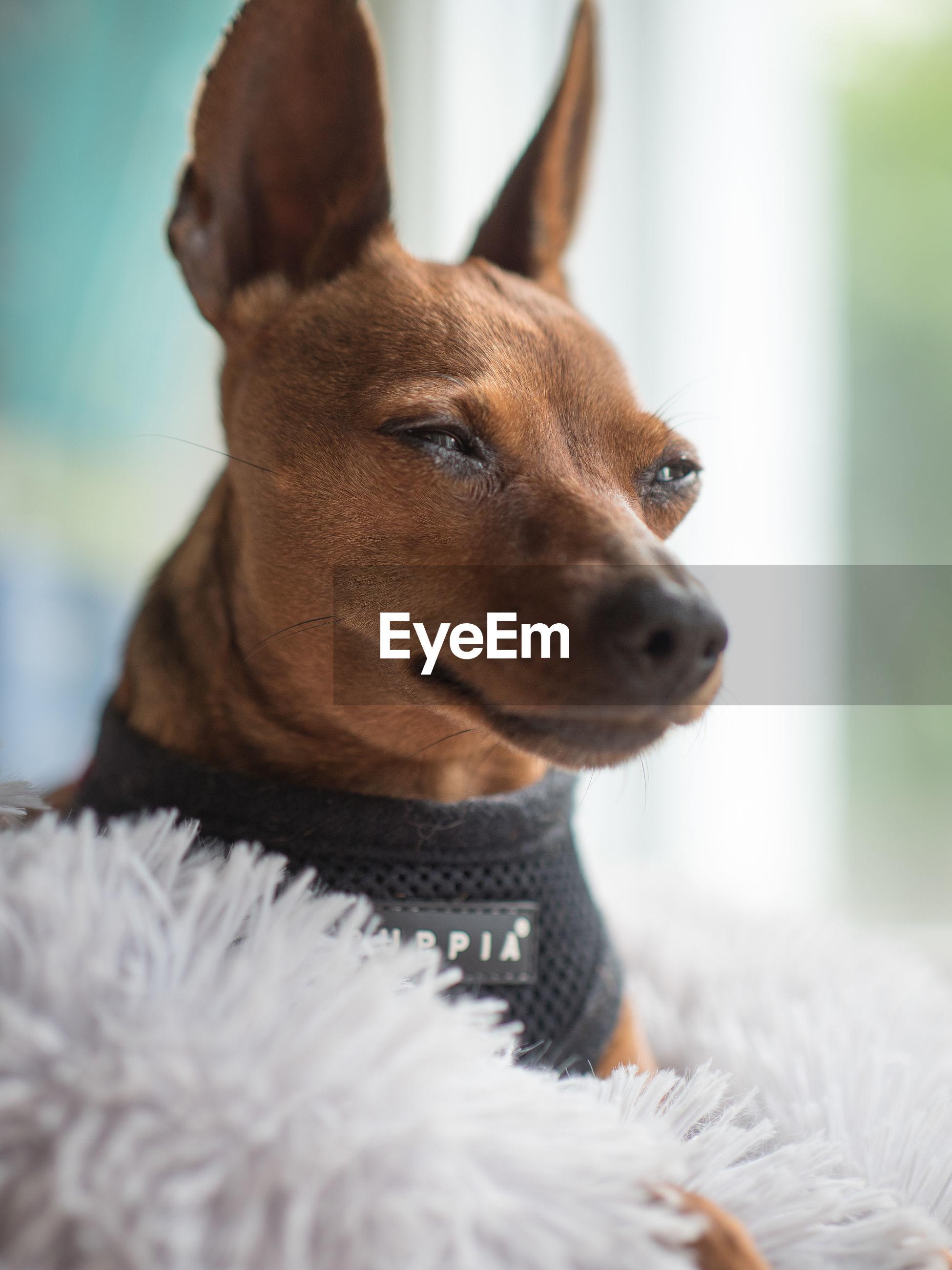 CLOSE-UP OF DOG LOOKING AT HOME