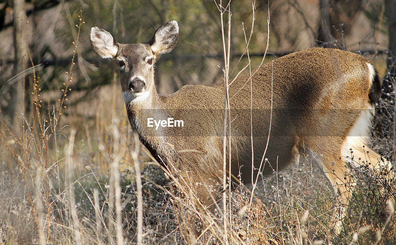 animal wildlife, animals in the wild, animal themes, animal, mammal, deer, vertebrate, one animal, day, plant, field, land, no people, tree, nature, looking at camera, herbivorous, portrait, domestic animals, outdoors