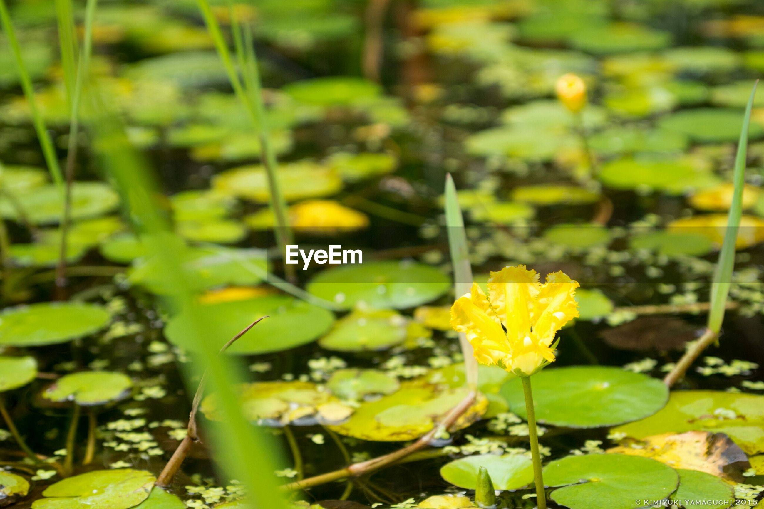 flower, growth, yellow, freshness, fragility, leaf, plant, petal, beauty in nature, nature, water, green color, focus on foreground, blooming, flower head, close-up, pond, stem, outdoors, day