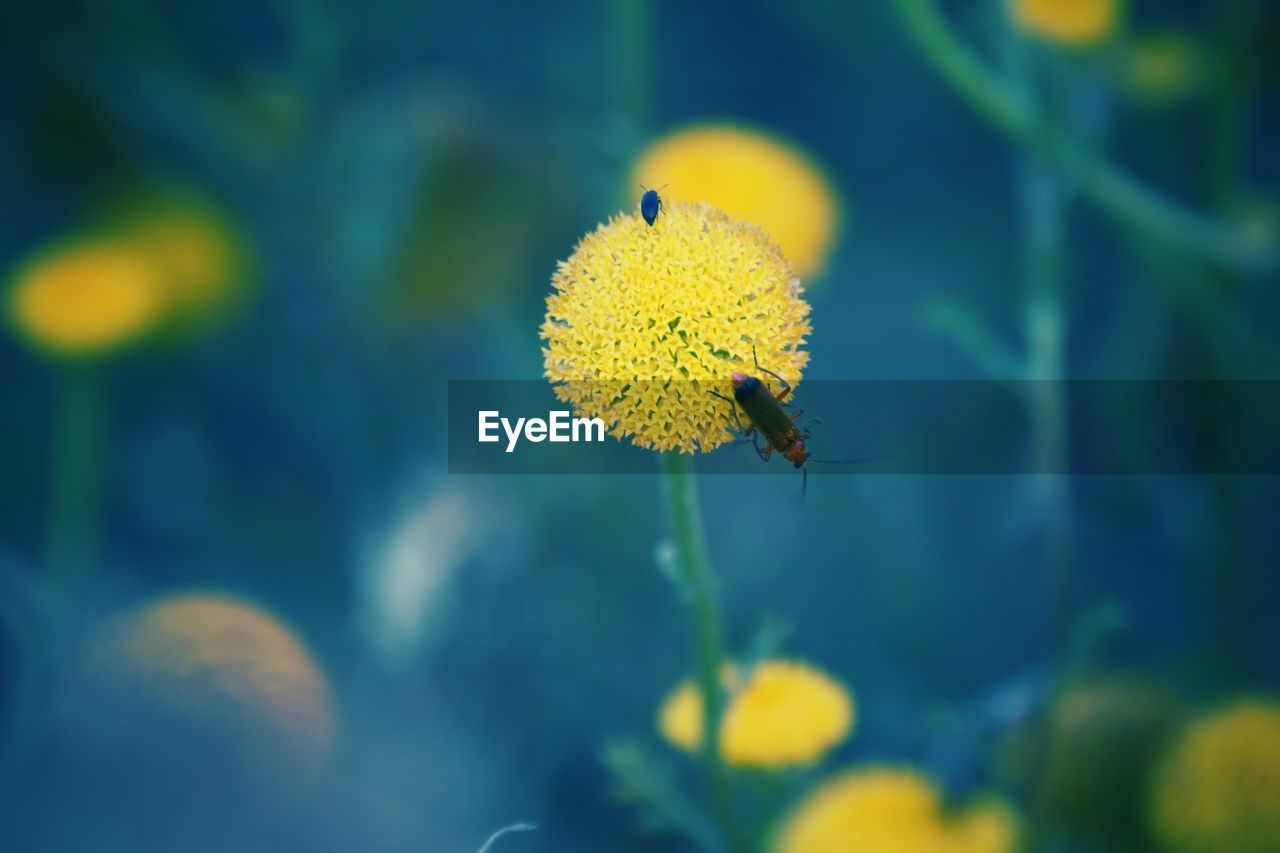 yellow, flowering plant, flower, beauty in nature, plant, animal themes, animals in the wild, flower head, animal wildlife, fragility, animal, invertebrate, one animal, insect, vulnerability, freshness, close-up, inflorescence, growth, petal, no people, pollen, pollination, outdoors