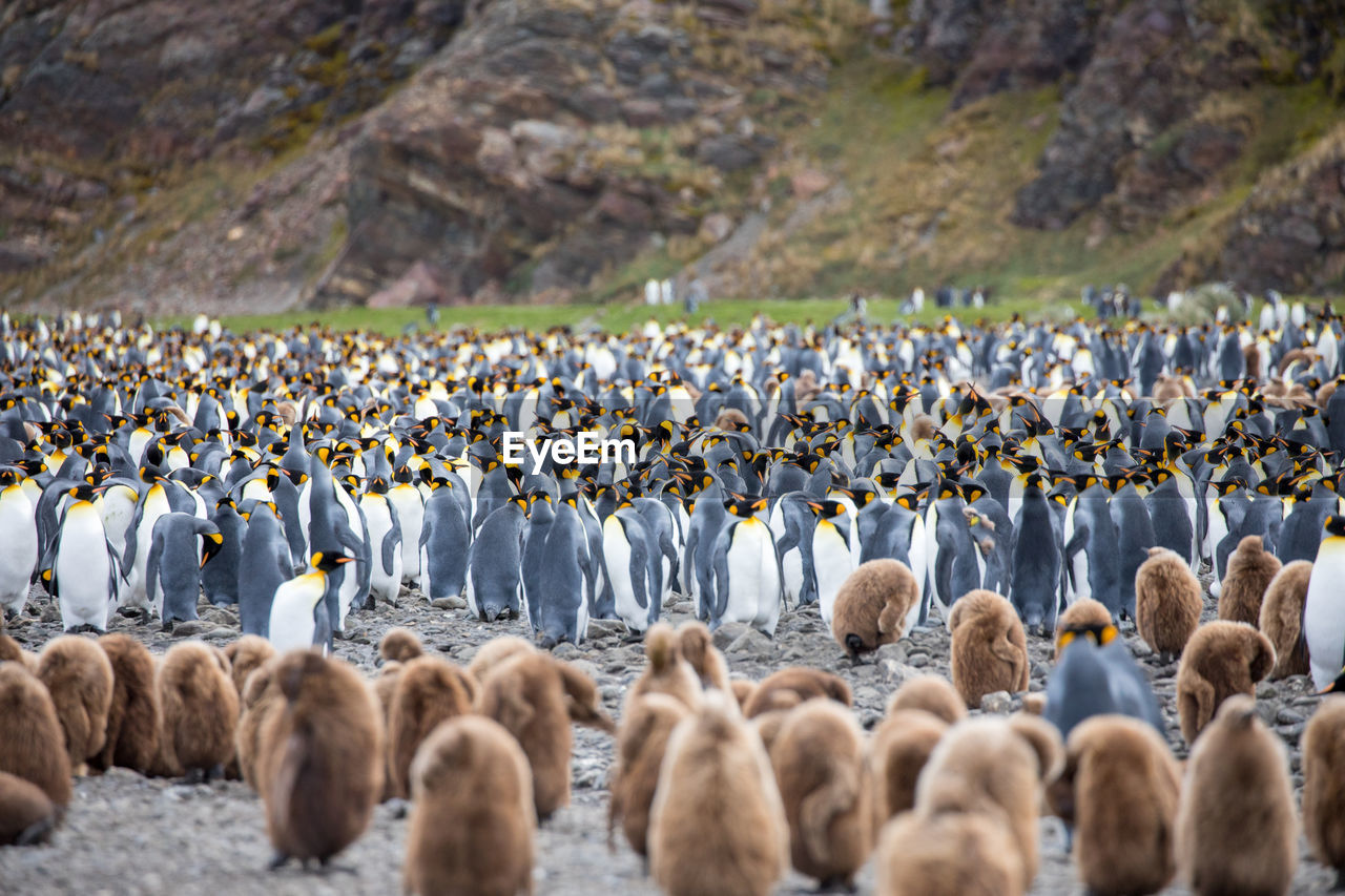 Penguins On Field Against Mountains