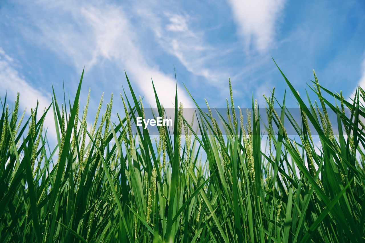 growth, plant, green color, grass, sky, tranquility, beauty in nature, field, nature, cloud - sky, day, land, no people, agriculture, close-up, rural scene, landscape, outdoors, tranquil scene, crop, blade of grass