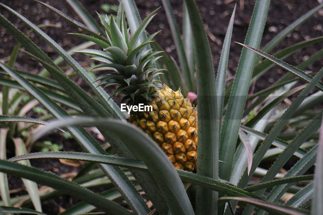 fruit, food and drink, food, green color, field, pineapple, freshness, healthy eating, growth, no people, outdoors, day, yellow, agriculture, nature, close-up
