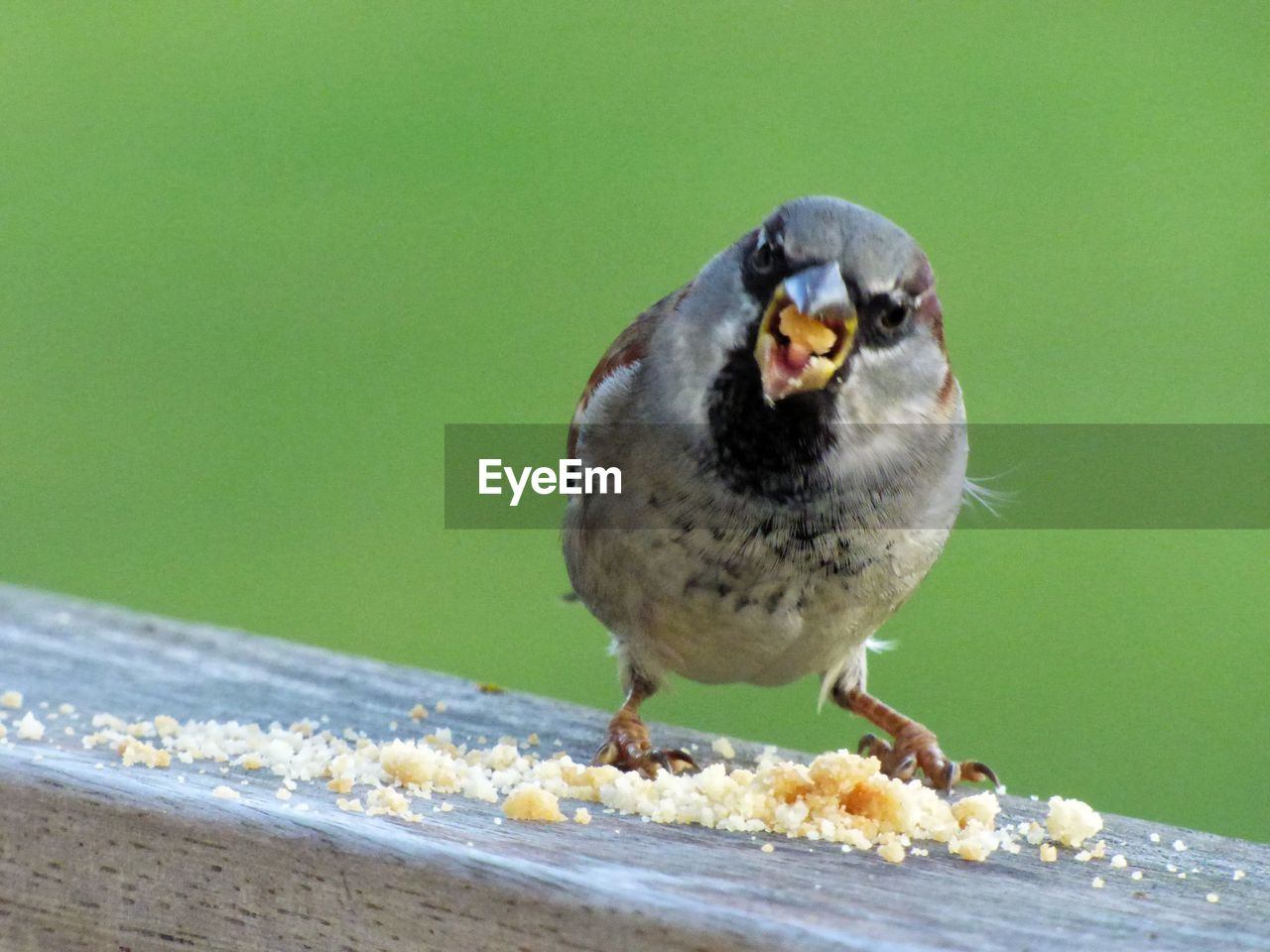 one animal, animal wildlife, animals in the wild, bird, vertebrate, food, focus on foreground, eating, perching, no people, food and drink, close-up, day, sparrow, nature, outdoors, portrait, hungry