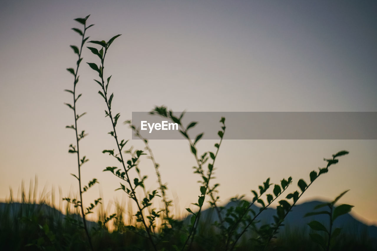 plant, growth, sky, beauty in nature, nature, no people, focus on foreground, field, tranquility, land, clear sky, flower, sunset, flowering plant, day, selective focus, close-up, fragility, outdoors, low angle view