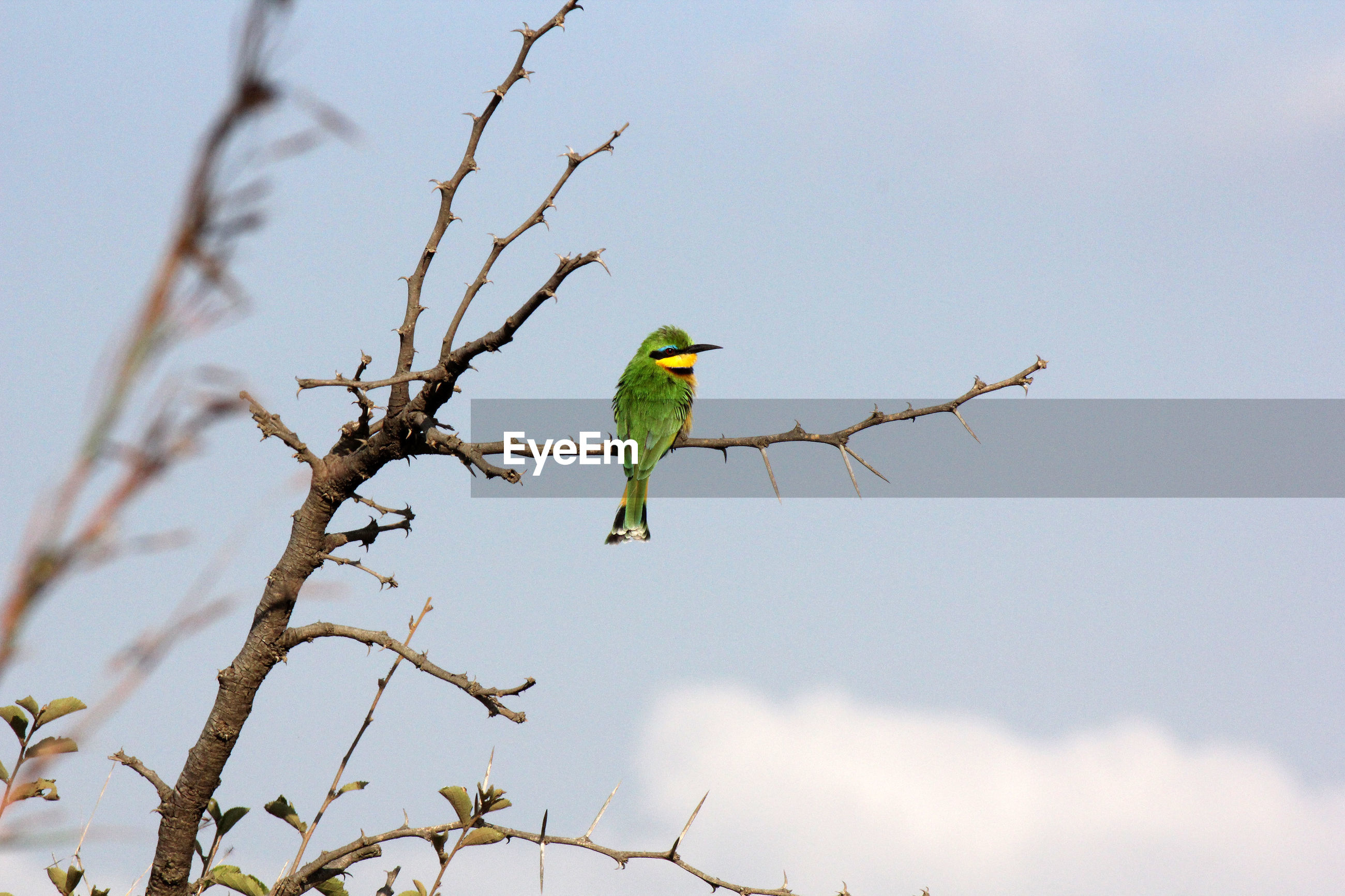 Low angle view of little bee-eater perching on branch